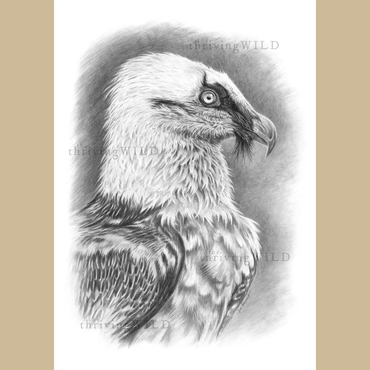 Bearded Vulture Lammergeier Drawing - The Thriving Wild - Jill Dimond