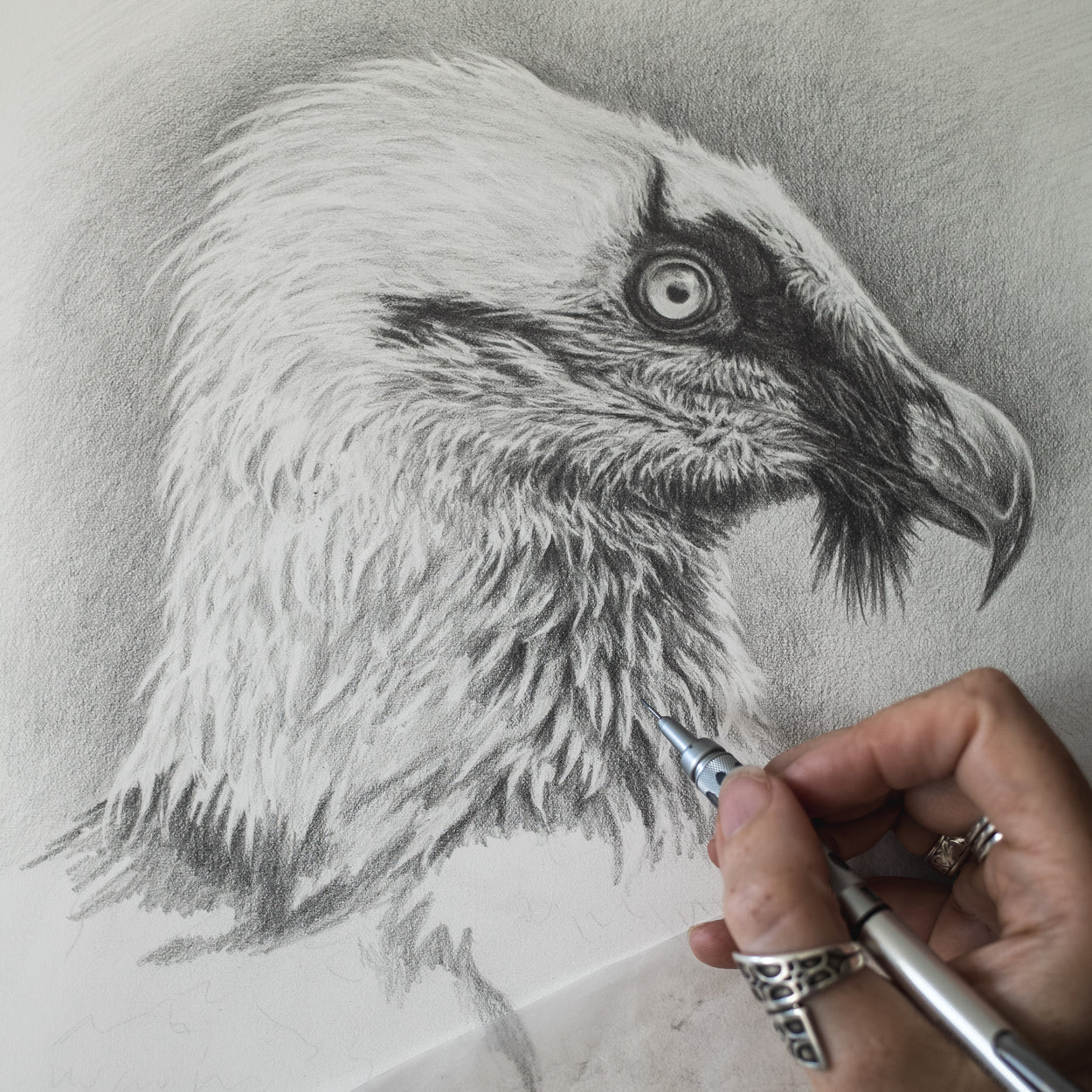 Bearded Vulture Work in Progress - The Thriving Wild