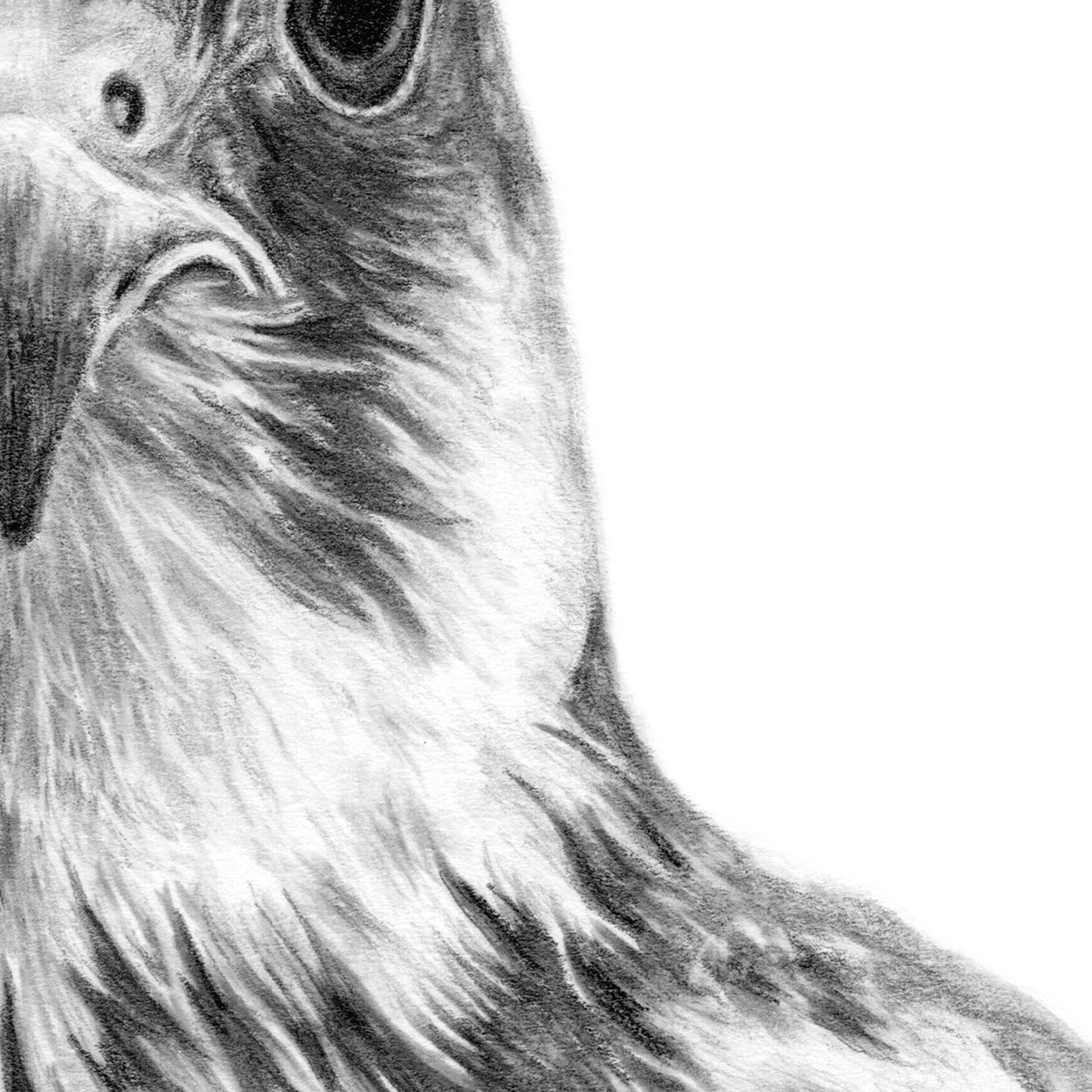 Bird of Prey Pencil Drawing Close-up - The Thriving Wild