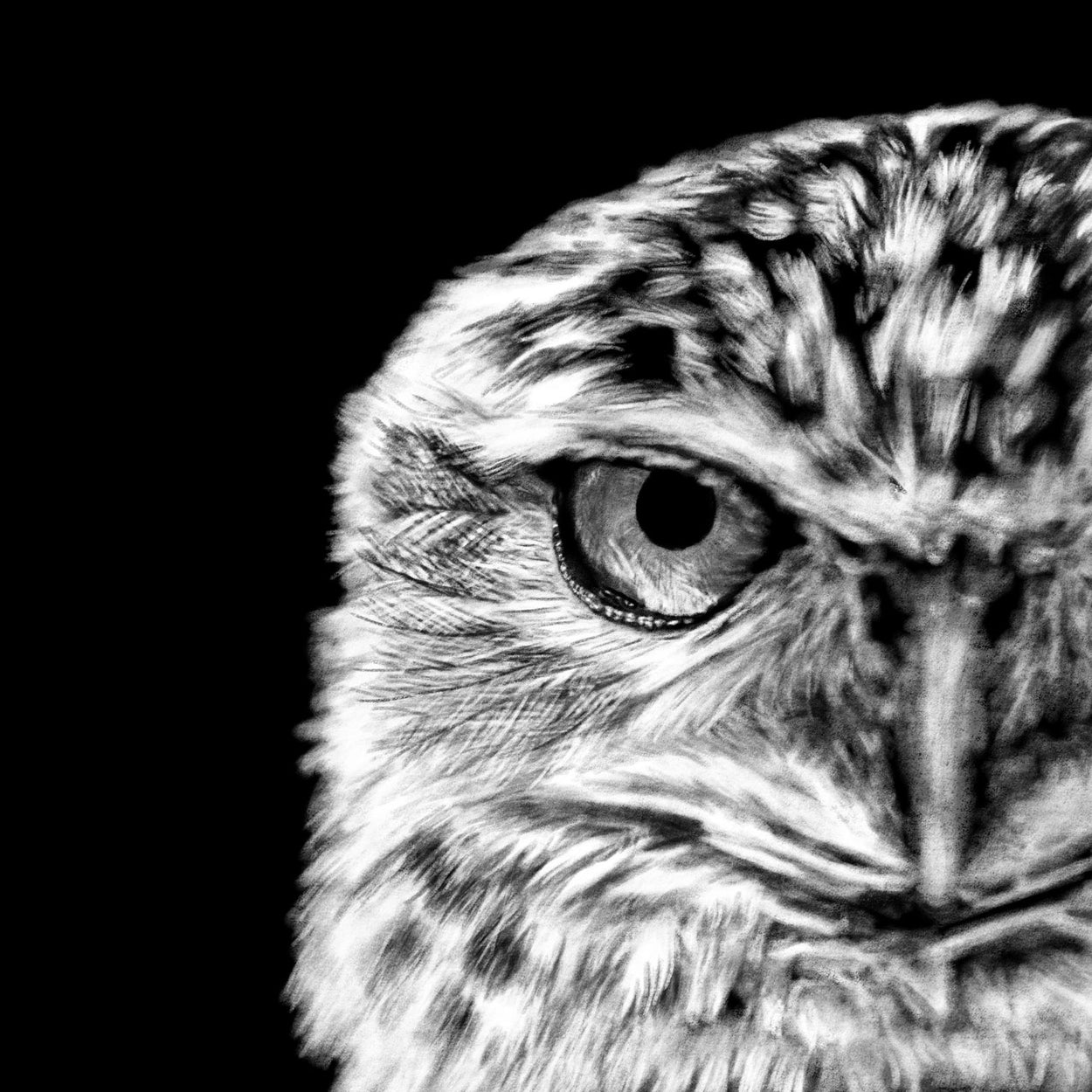 Burrowing Owl Procreate Digital Drawing Close-up - The Thriving Wild