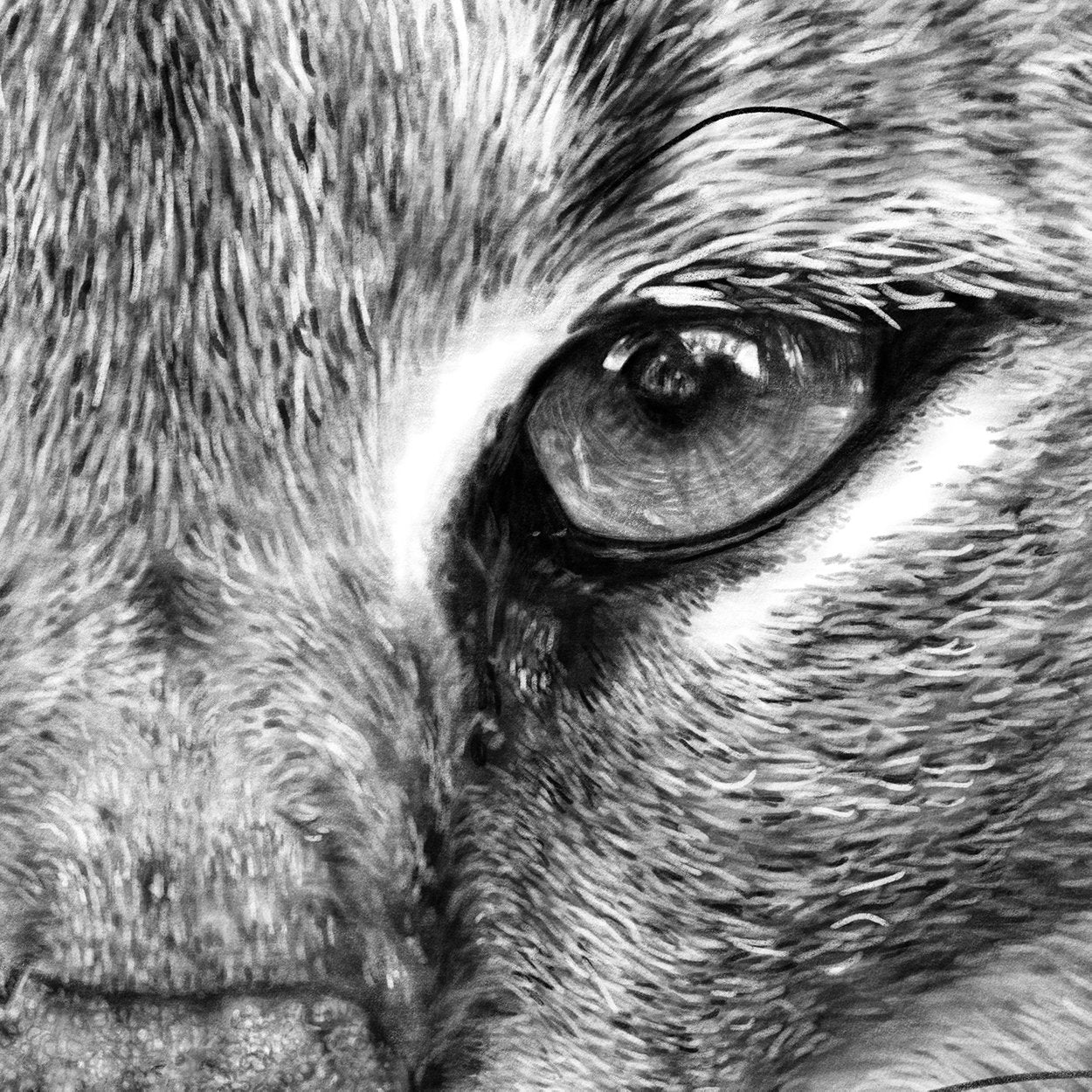 Caracal Lynx Drawing Close-up - The Thriving Wild