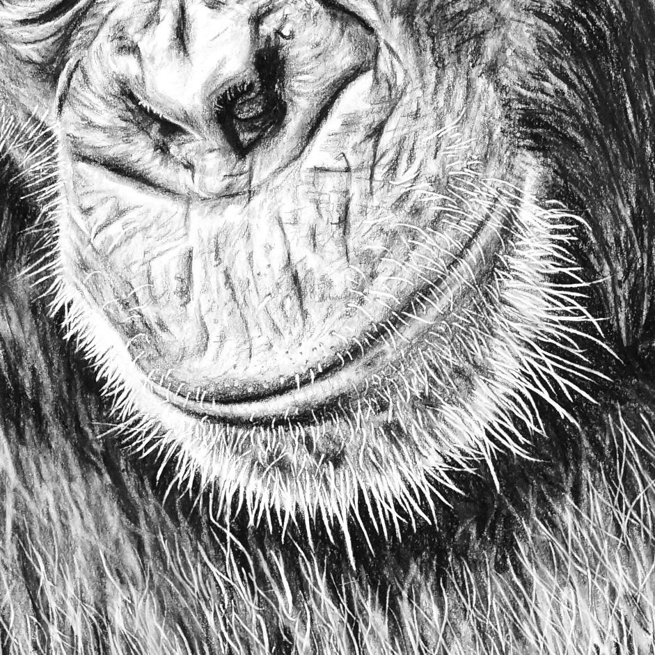 Chimp Pencil Drawing Close-up - The Thriving Wild
