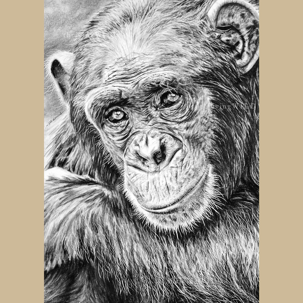 Chimp Wildlife Pencil Drawing - The Thriving Wild