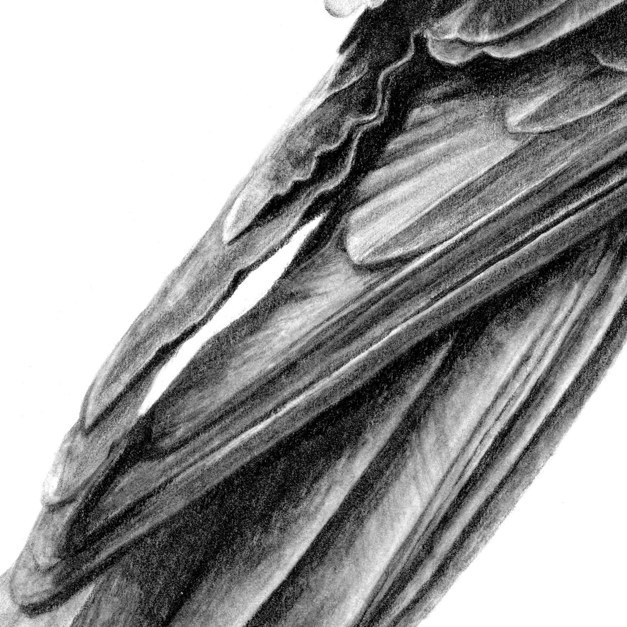 Crow Feathers Pencil Drawing Close-up - The Thriving Wild