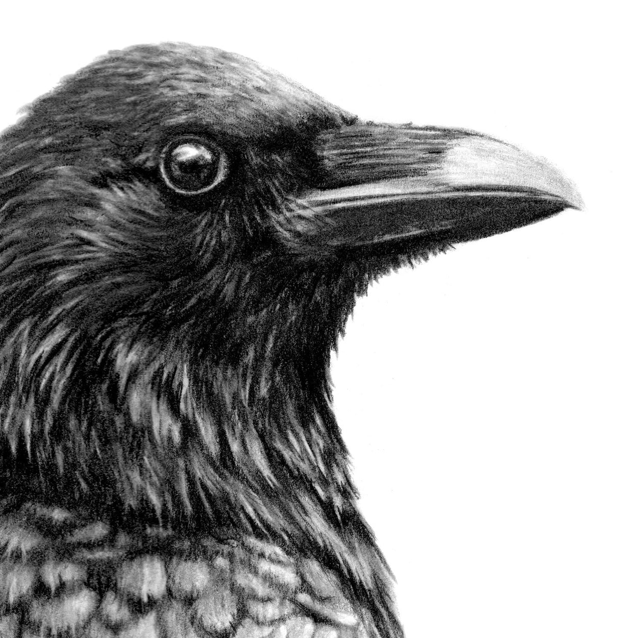 Crow Graphite Close-up - The Thriving Wild