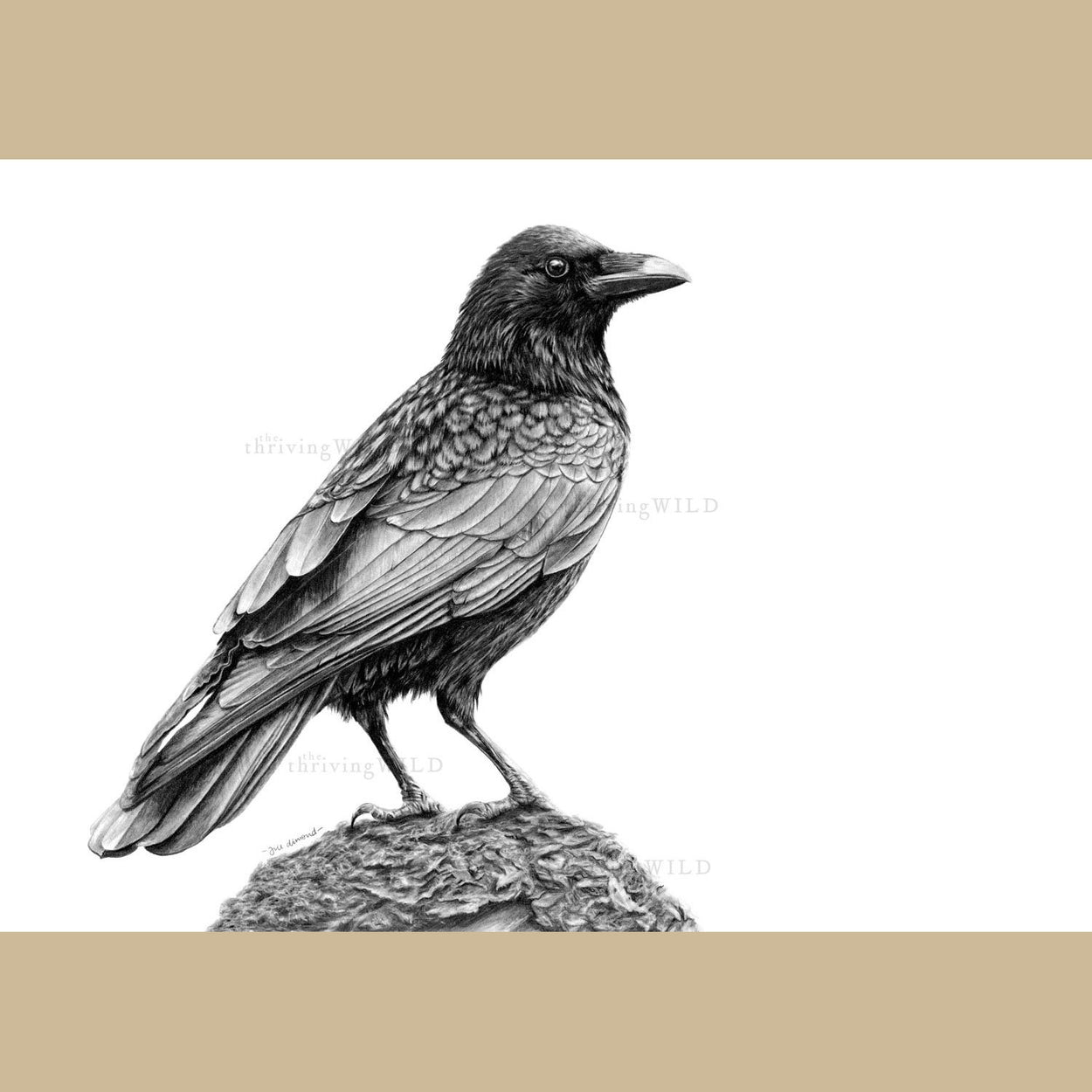 Crow Pencil Drawing - The Thriving Wild Jill Dimond