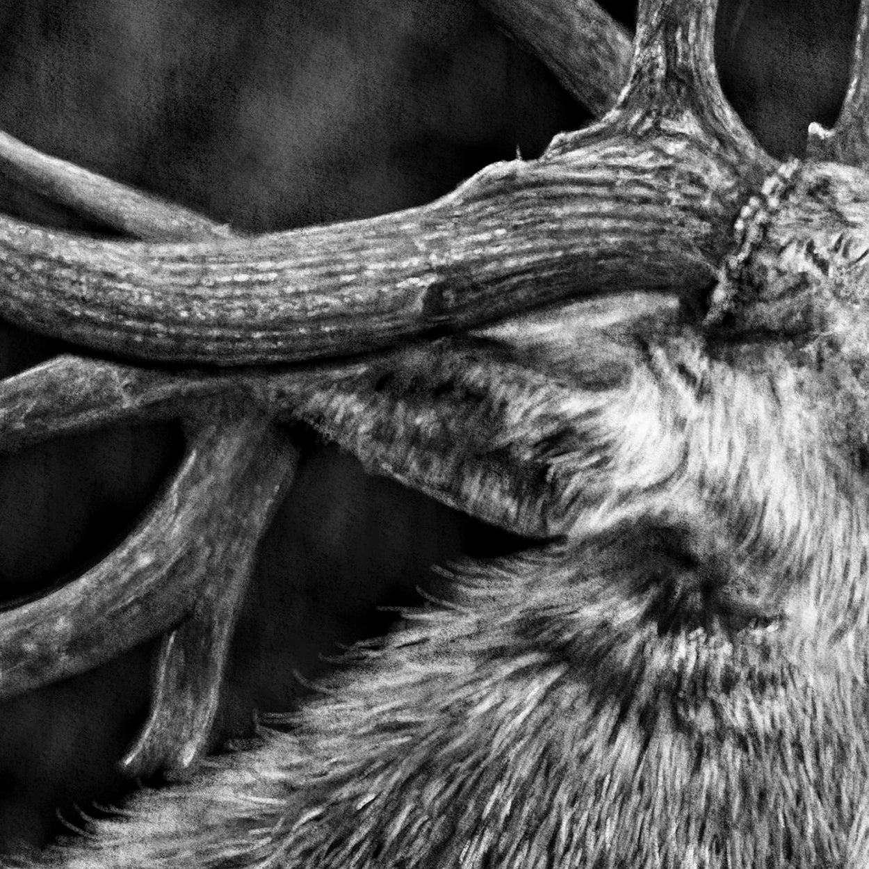 Deer Stag Drawing Procreate Close-up - The Thriving Wild