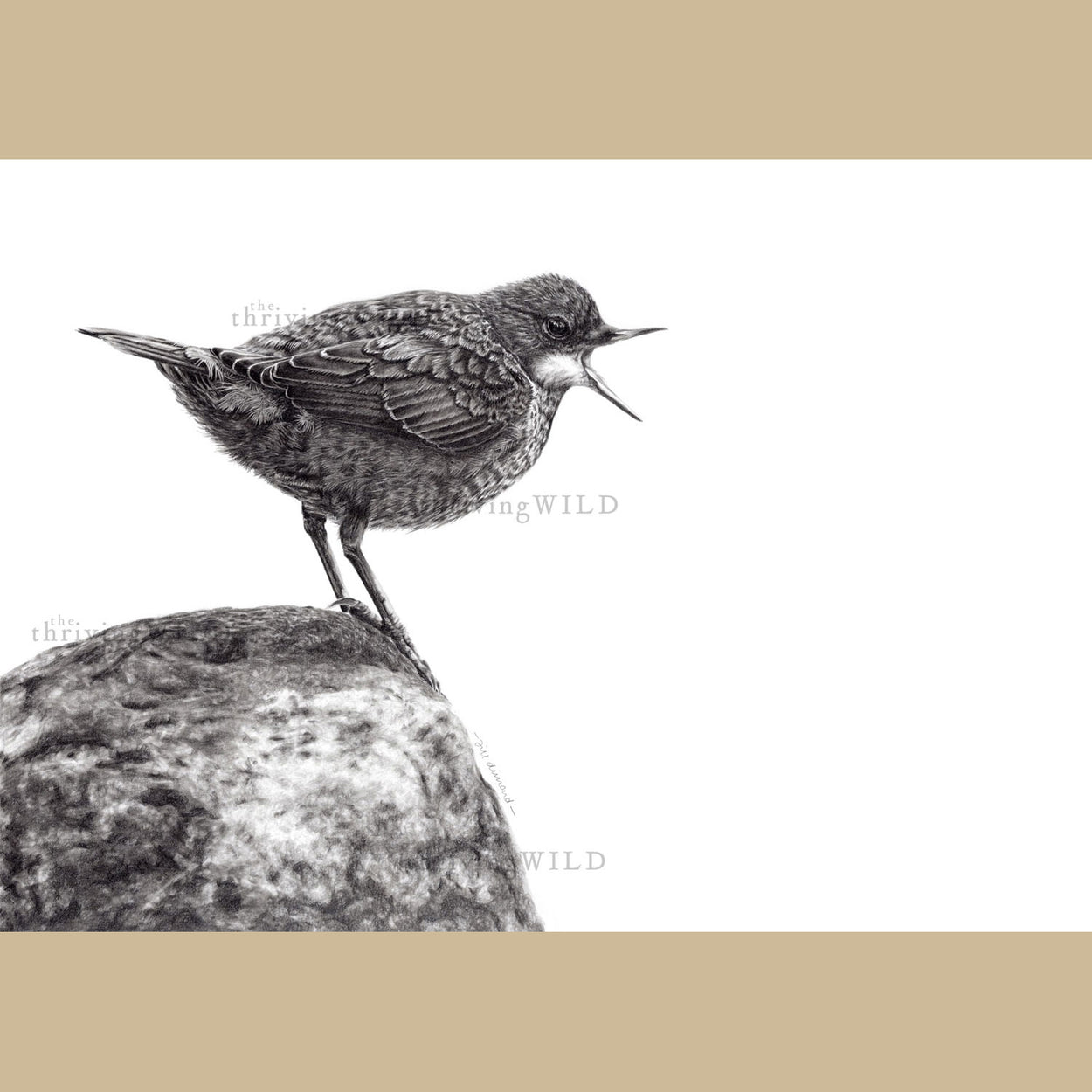Dipper Bird Pencil Drawing - The Thriving Wild