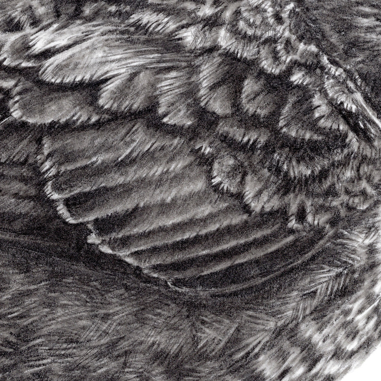 Dipper Feathers Drawing Close-up - The Thriving Wild