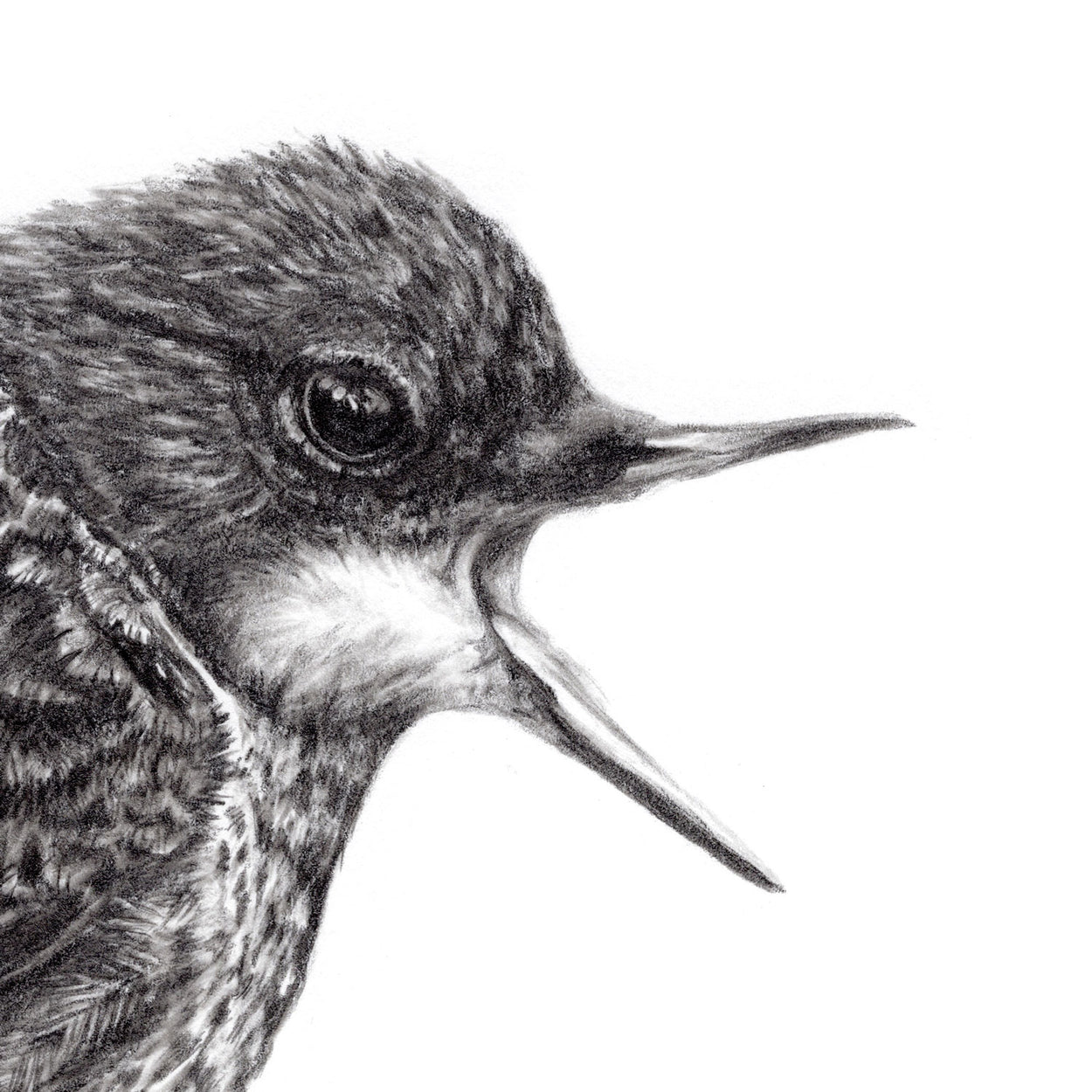 Dipper Bird Drawing Close-up - The Thriving Wild