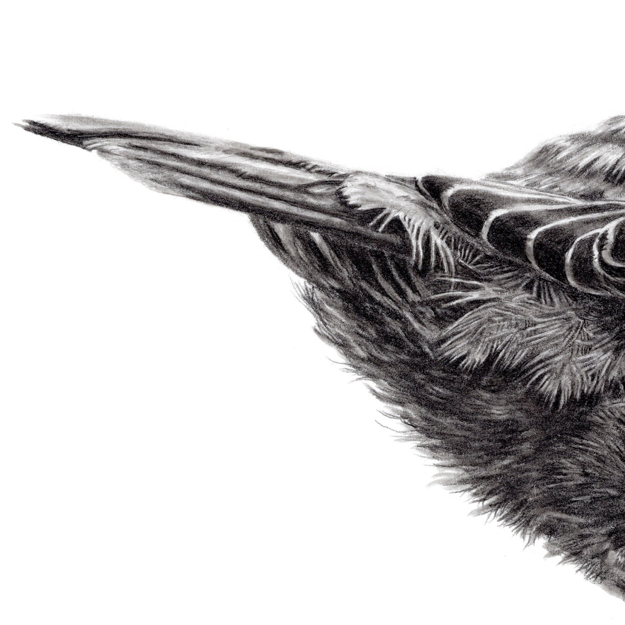 Dipper Bird Feathers Drawing Close-up - The Thriving Wild