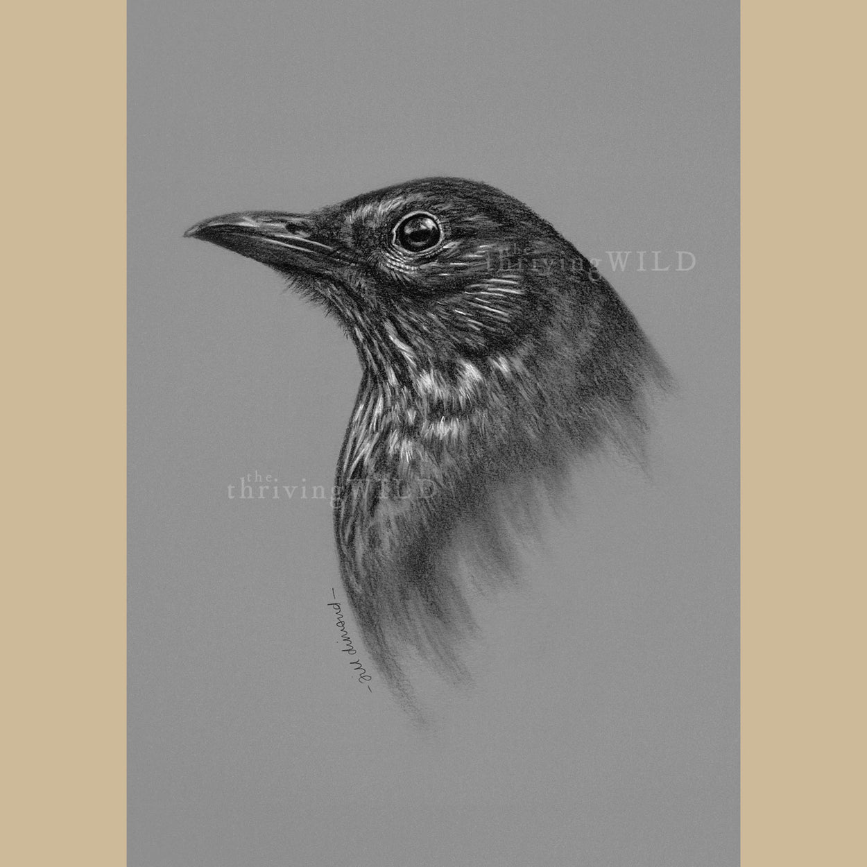 Female Blackbird Charcoal Drawing - The Thriving Wild - Jill Dimond
