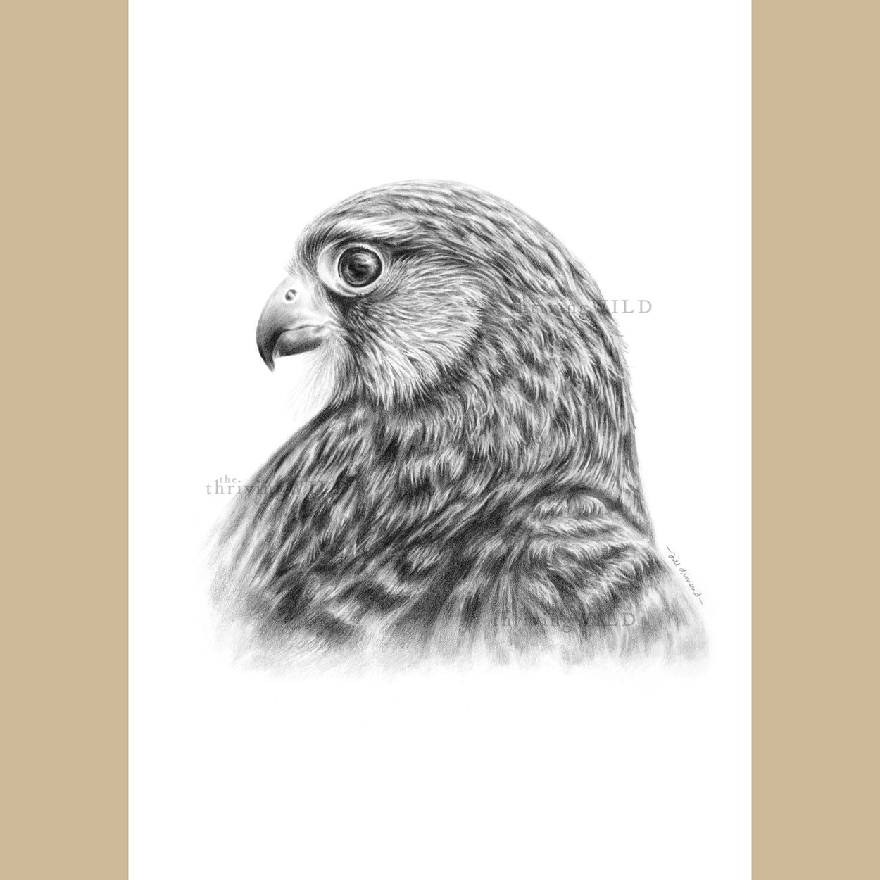 Female Kestrel Pencil Drawing Bird of Prey - The Thriving Wild - Jill Dimond