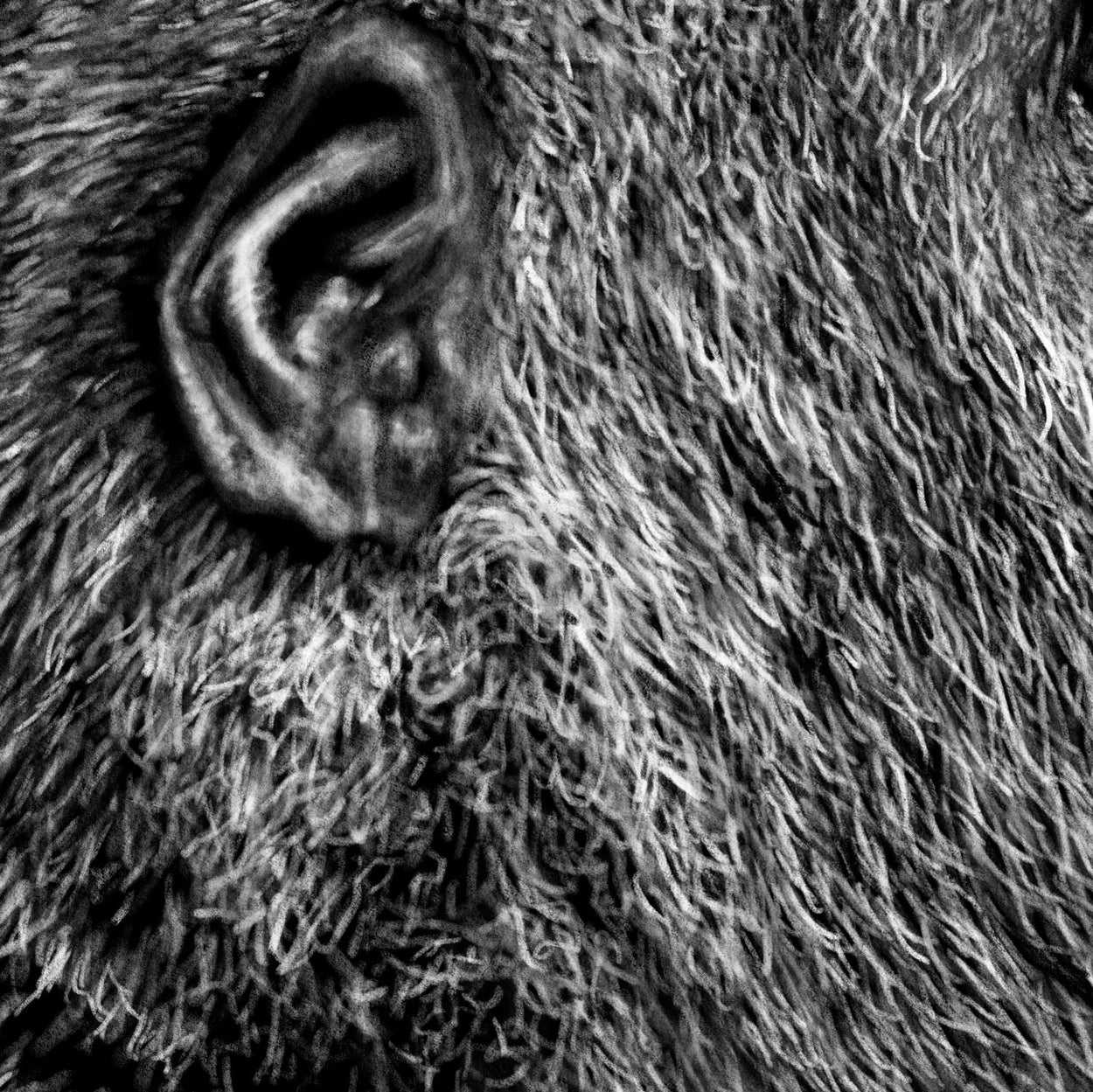 Gorilla Digital Drawing Close-up - The Thriving Wild