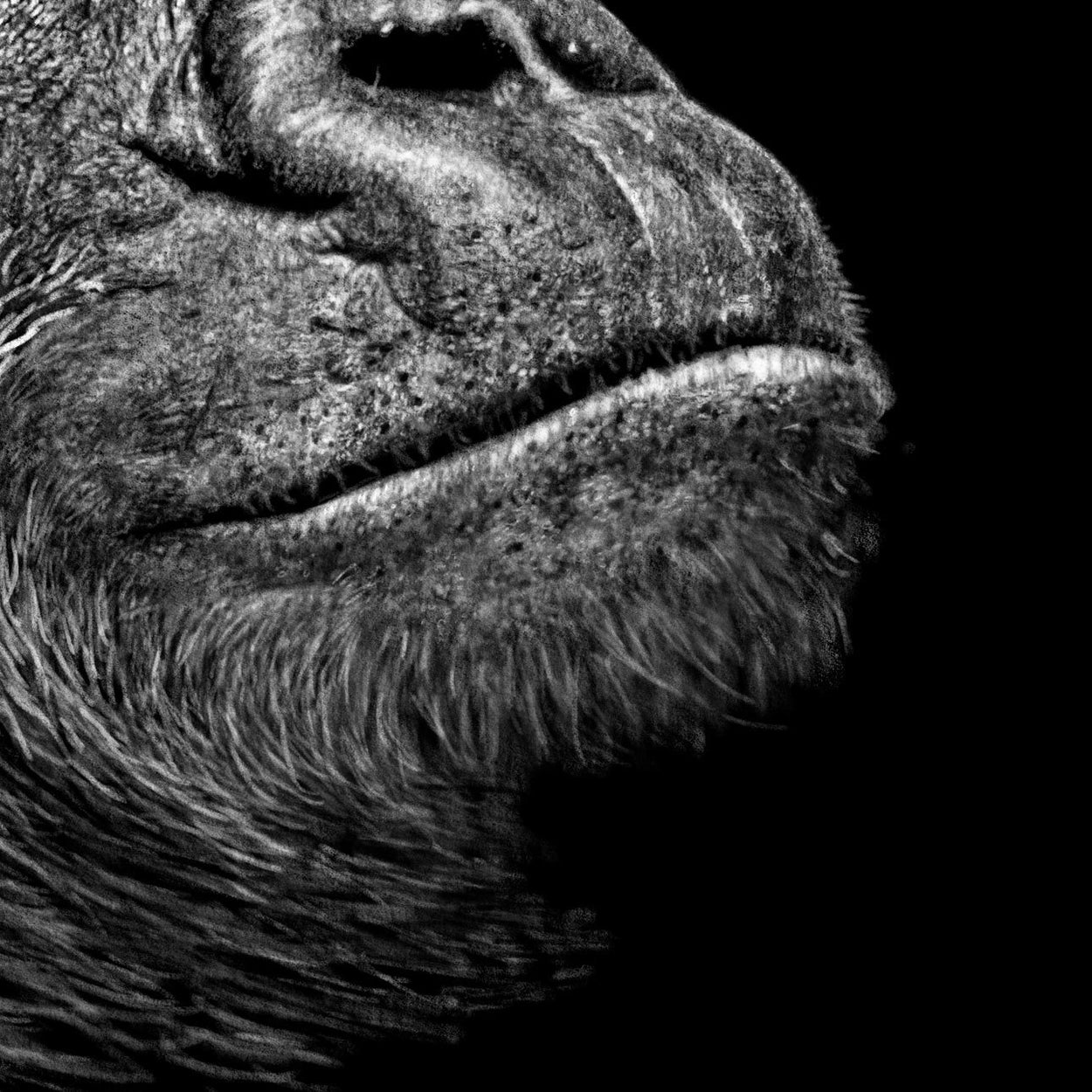 Gorilla Drawing Close-up - The Thriving Wild