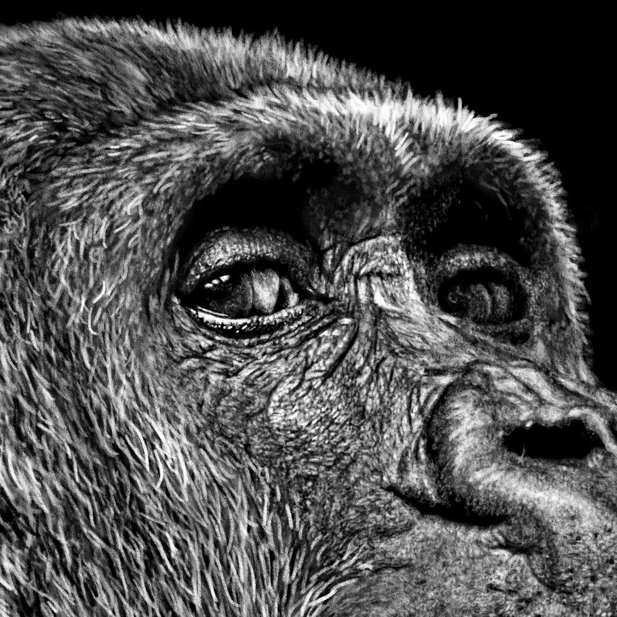 Gorilla Eyes Drawing Close-up - The Thriving Wild