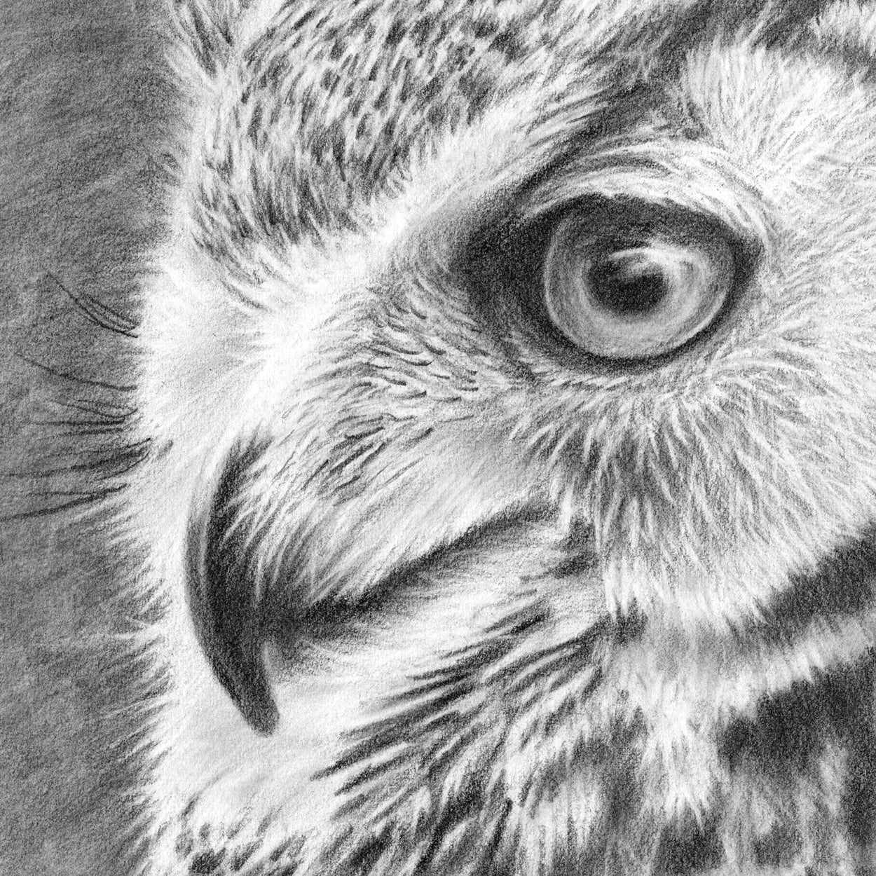 Great Horned Owl Graphite Drawing Close-up 2 - The Thriving Wild