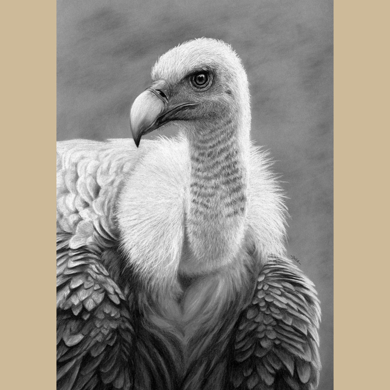 Griffon Vulture Drawing - Gyps Fulvus - The Thriving Wild - Jill Dimond