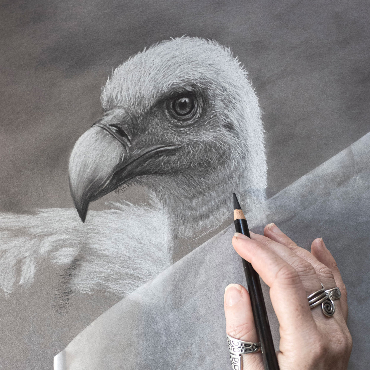 Griffon Vulture Drawing In Progress 1 - Jill Dimond