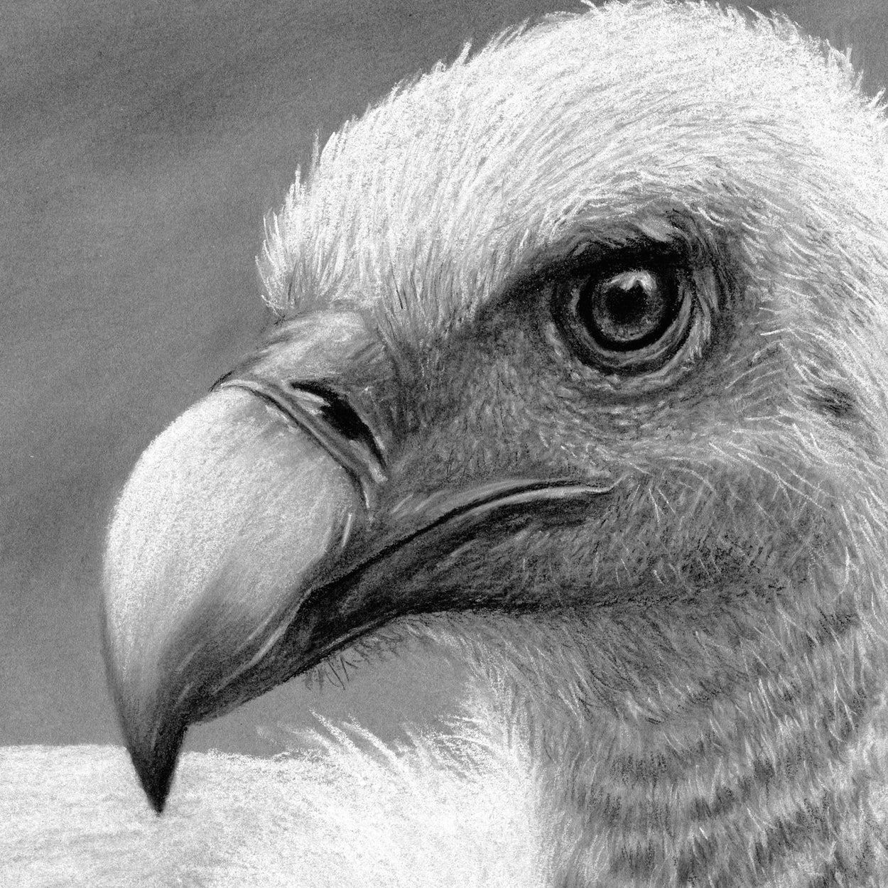 Griffon Vulture Head Close-up 1 - Jill Dimond