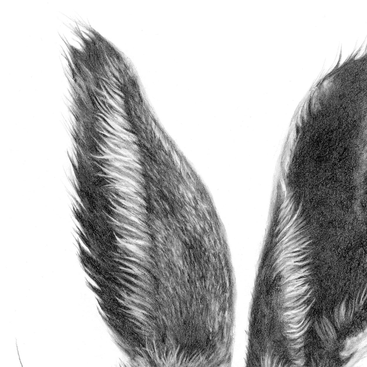 Hare Drawing Ears Close-up 3 - The Thriving Wild - Jill Dimond