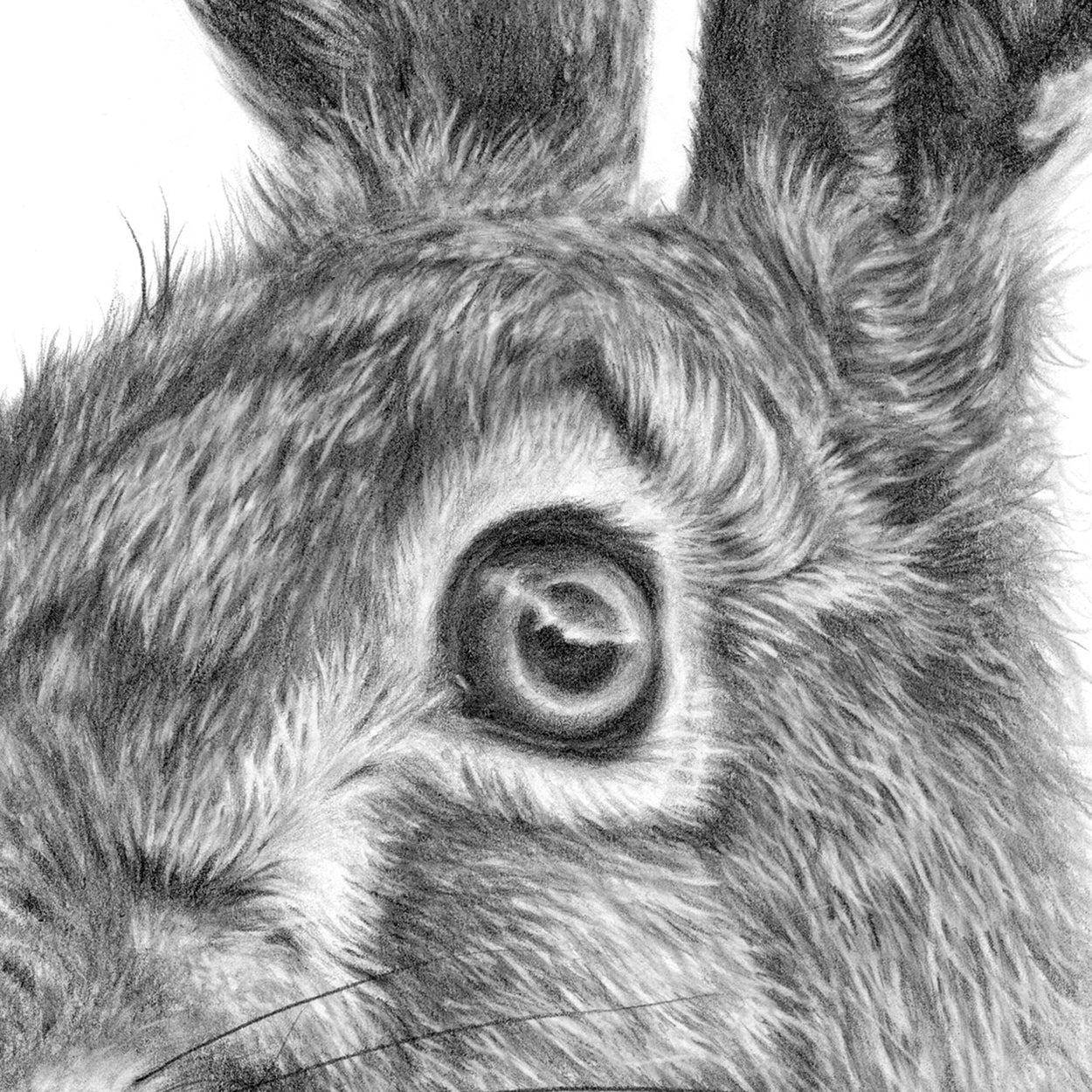 Hare Drawing Eye Close-up - The Thriving Wild