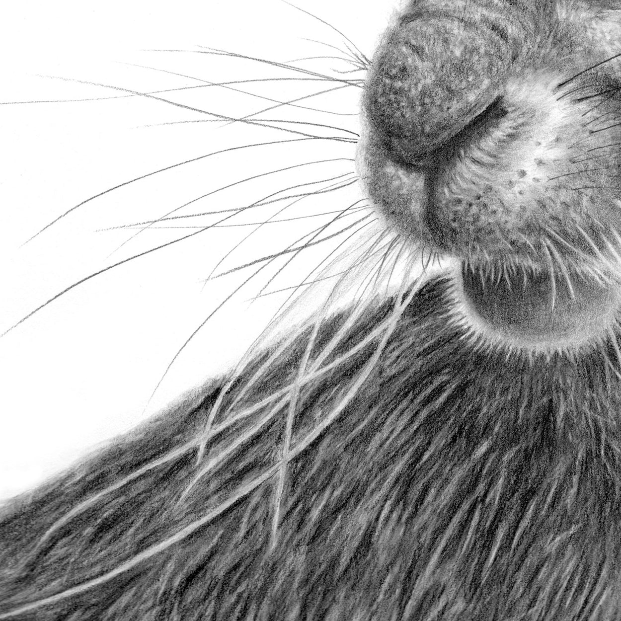 Hare Drawing Nose Close-up 1 - The Thriving Wild