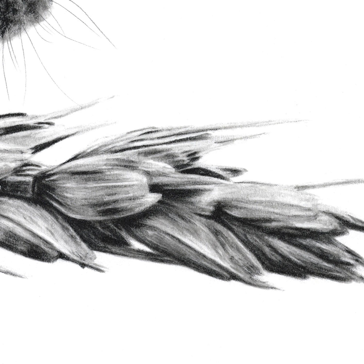 Harvest Mouse Drawing Close-up - The Thriving Wild