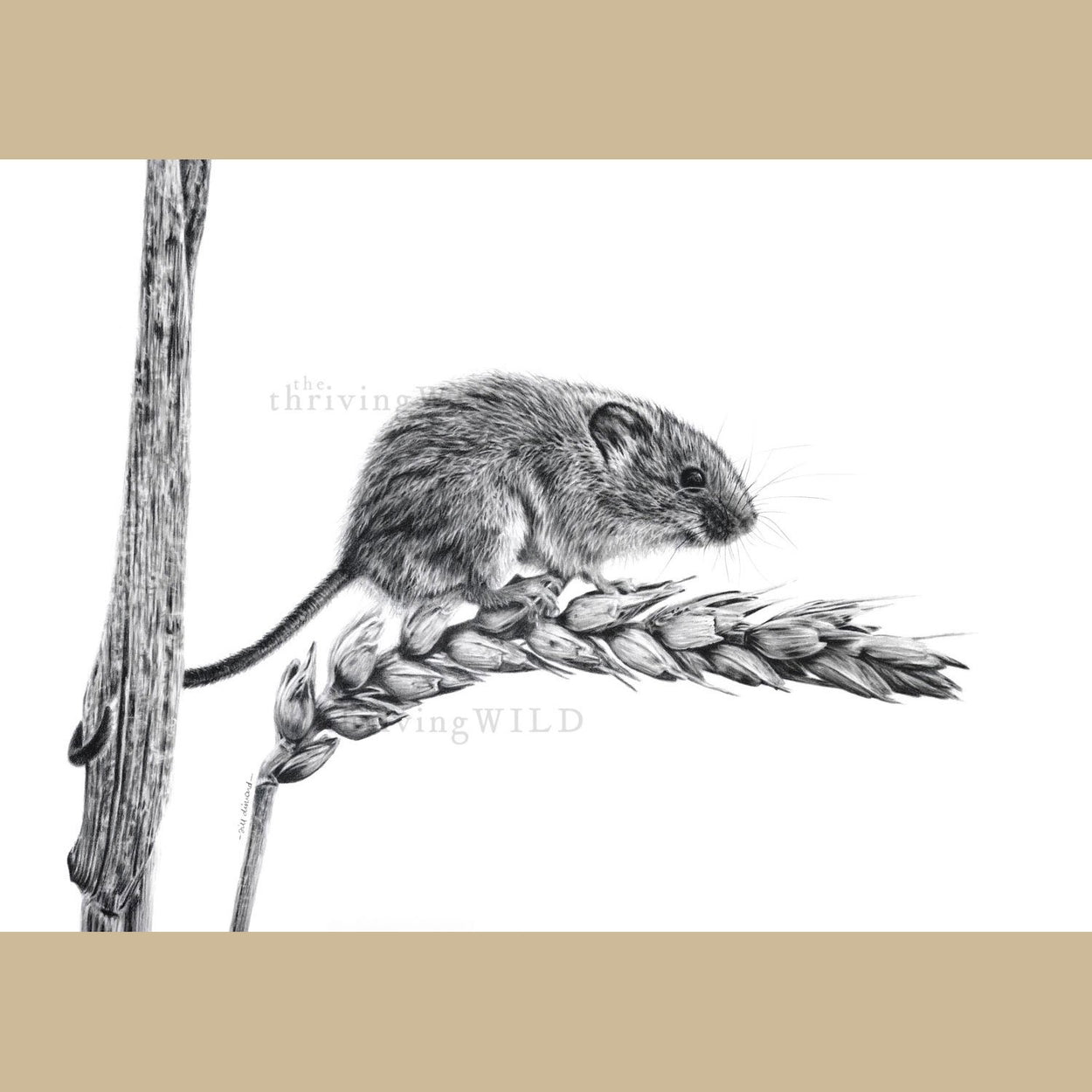 Harvest Mouse Graphite Drawing - The Thriving Wild Jill Dimond