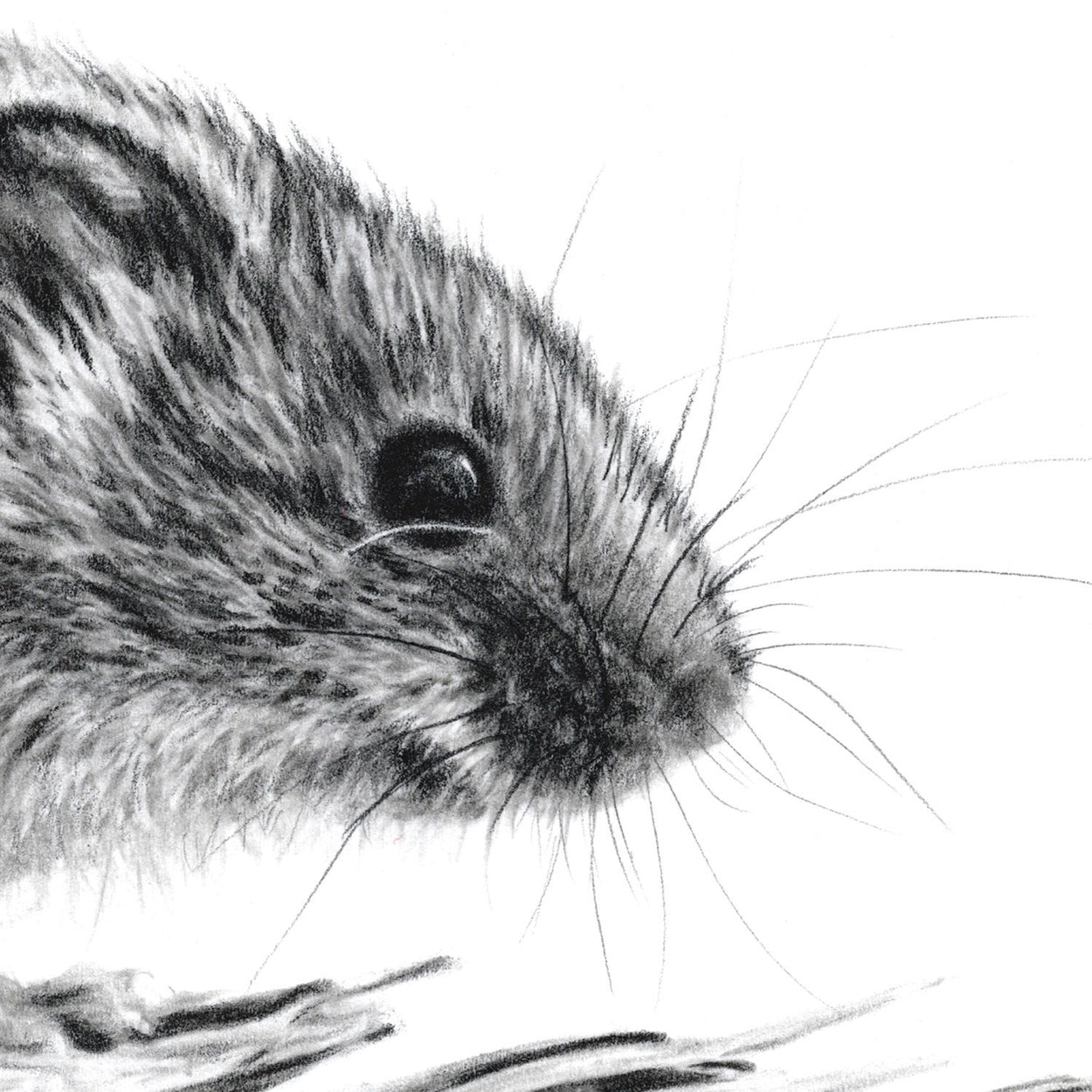 Harvest Mouse Pencil Drawing Close-up - The Thriving Wild