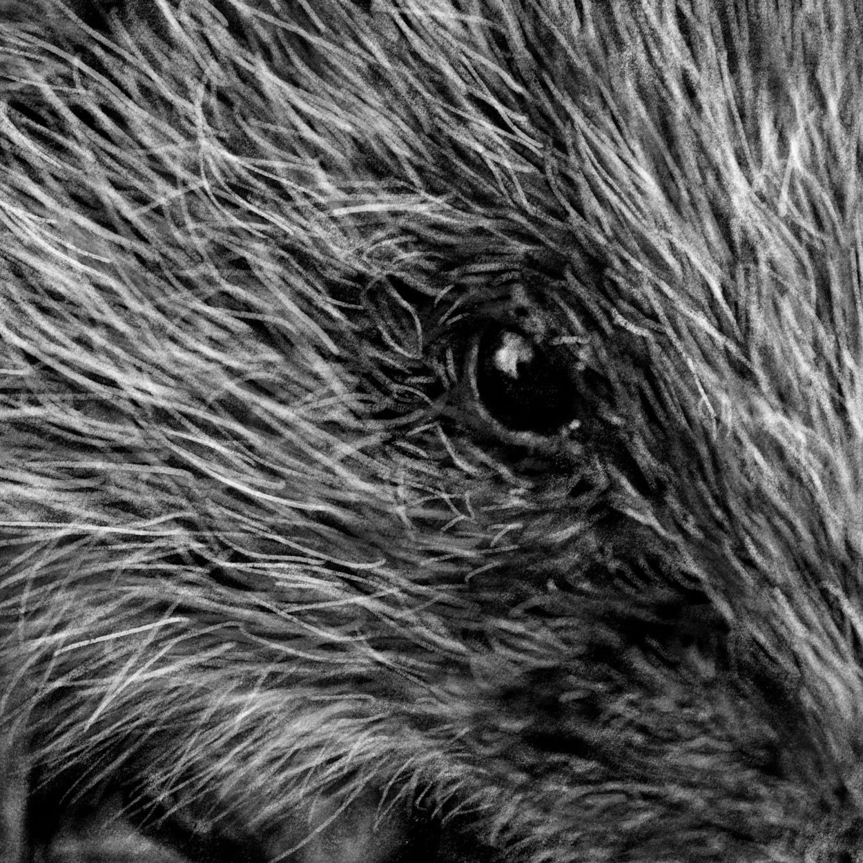 Hedgehog Digital Drawing Close-up - The Thriving Wild