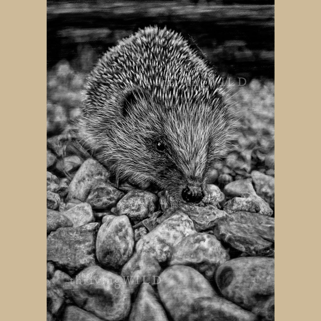 Hedgehog Digital Drawing Procreate - The Thriving Wild