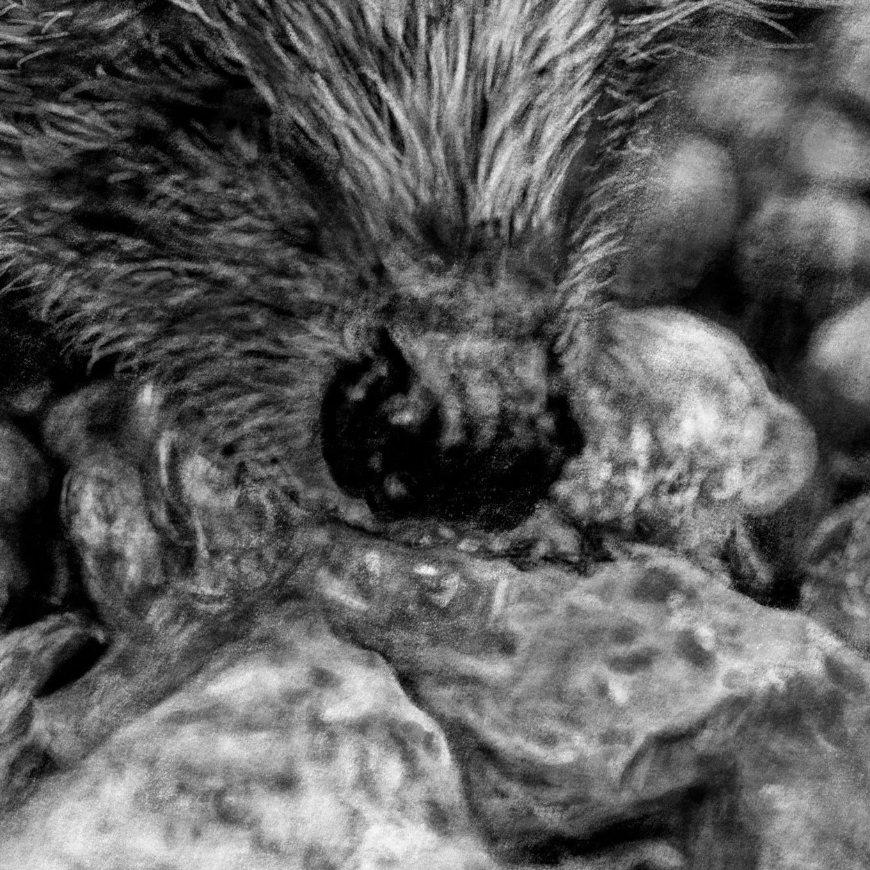 Hedgehog nose Close-up Drawing - The Thriving Wild