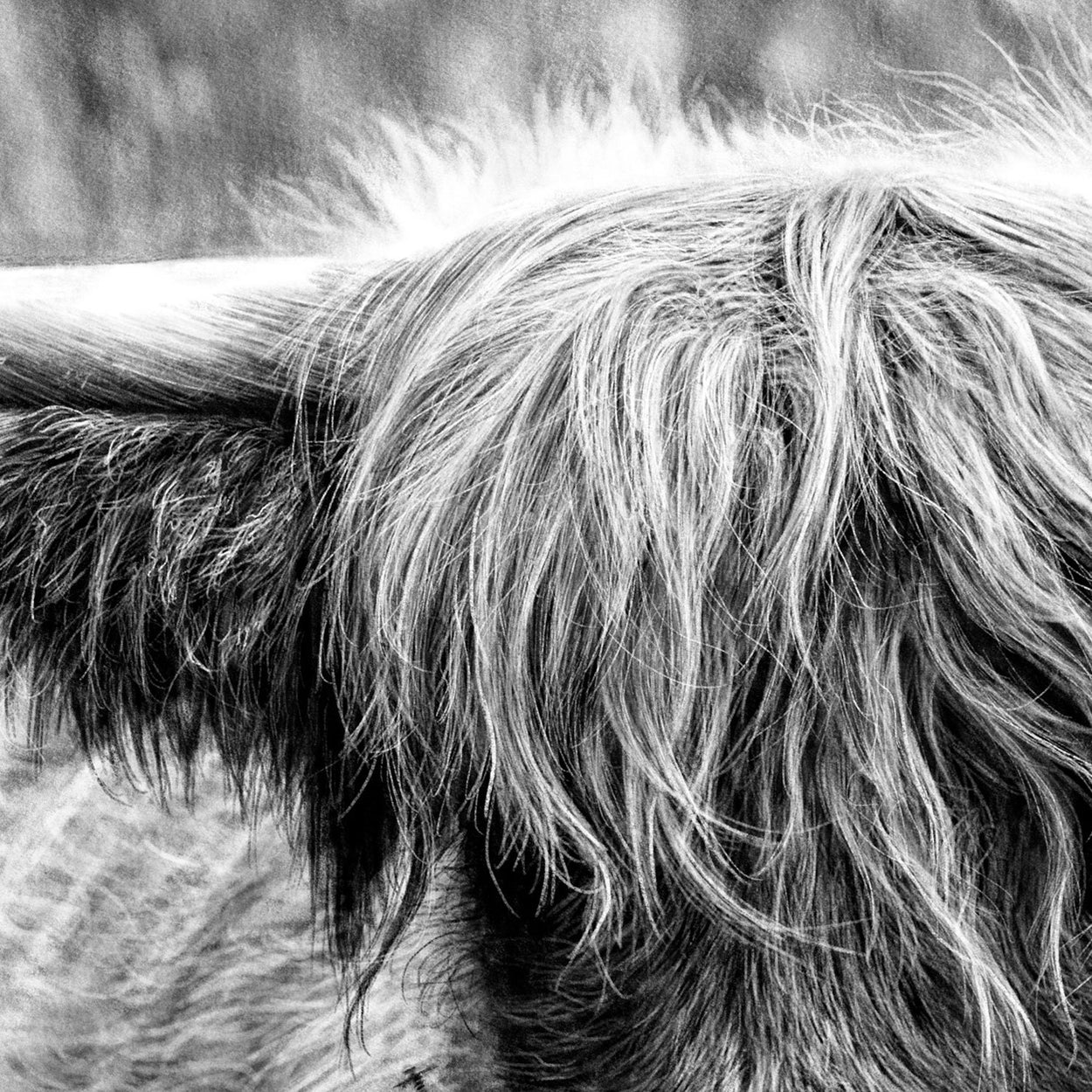 Highland Cow Digital Drawing Close-up - The Thriving Wild