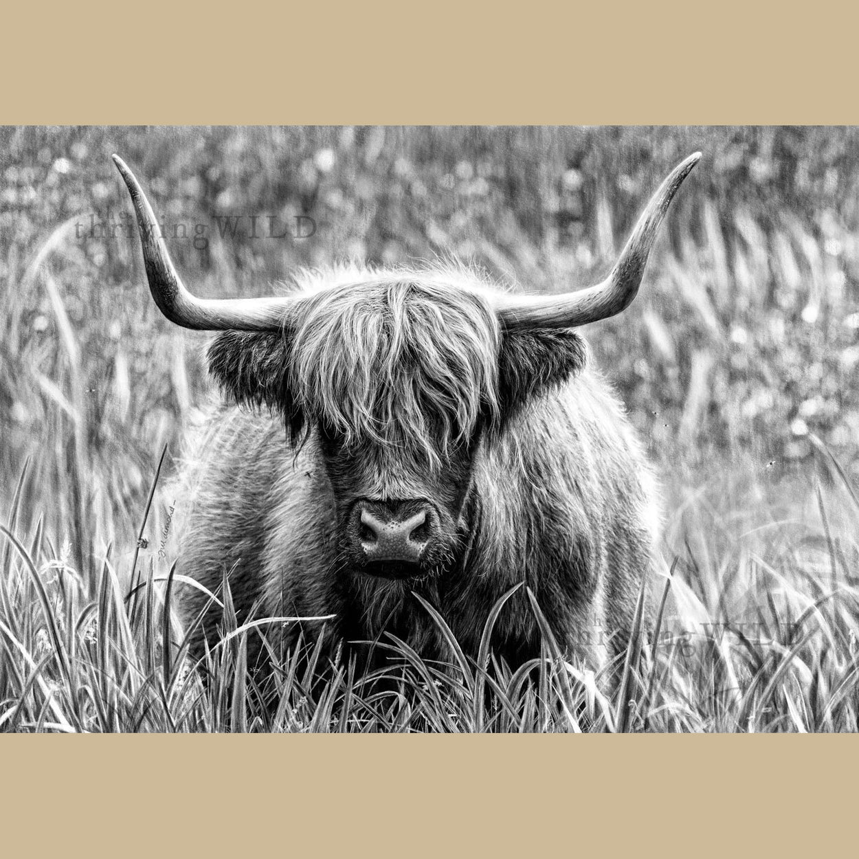 Highland Cow Digital Drawing Procreate - The Thriving Wild