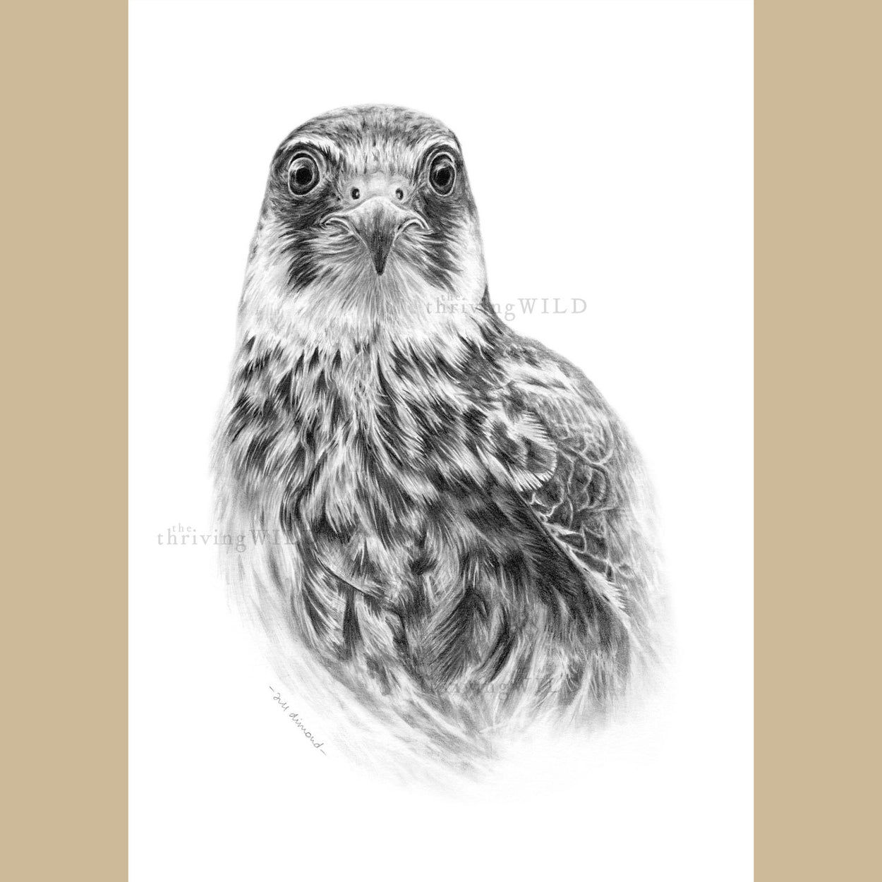 Hobby Bird of Prey Pencil Drawing - The Thriving Wild - Jill Dimond