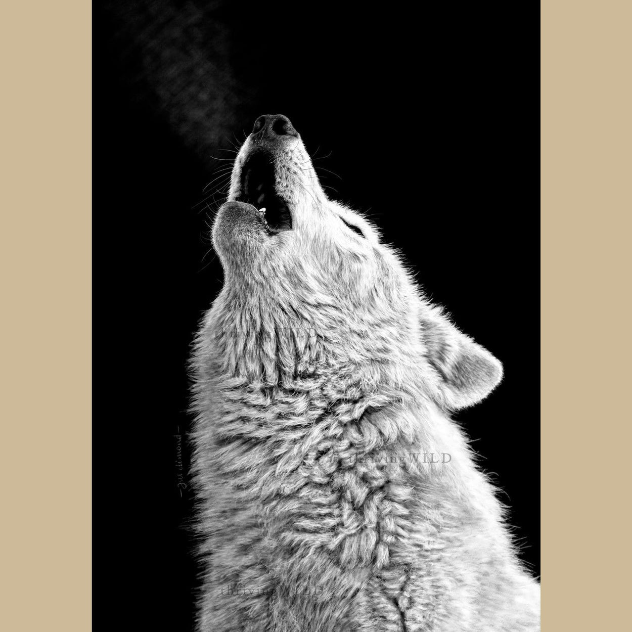Howling Wolf Wildlife Procreate Digital Drawing - The Thriving Wild