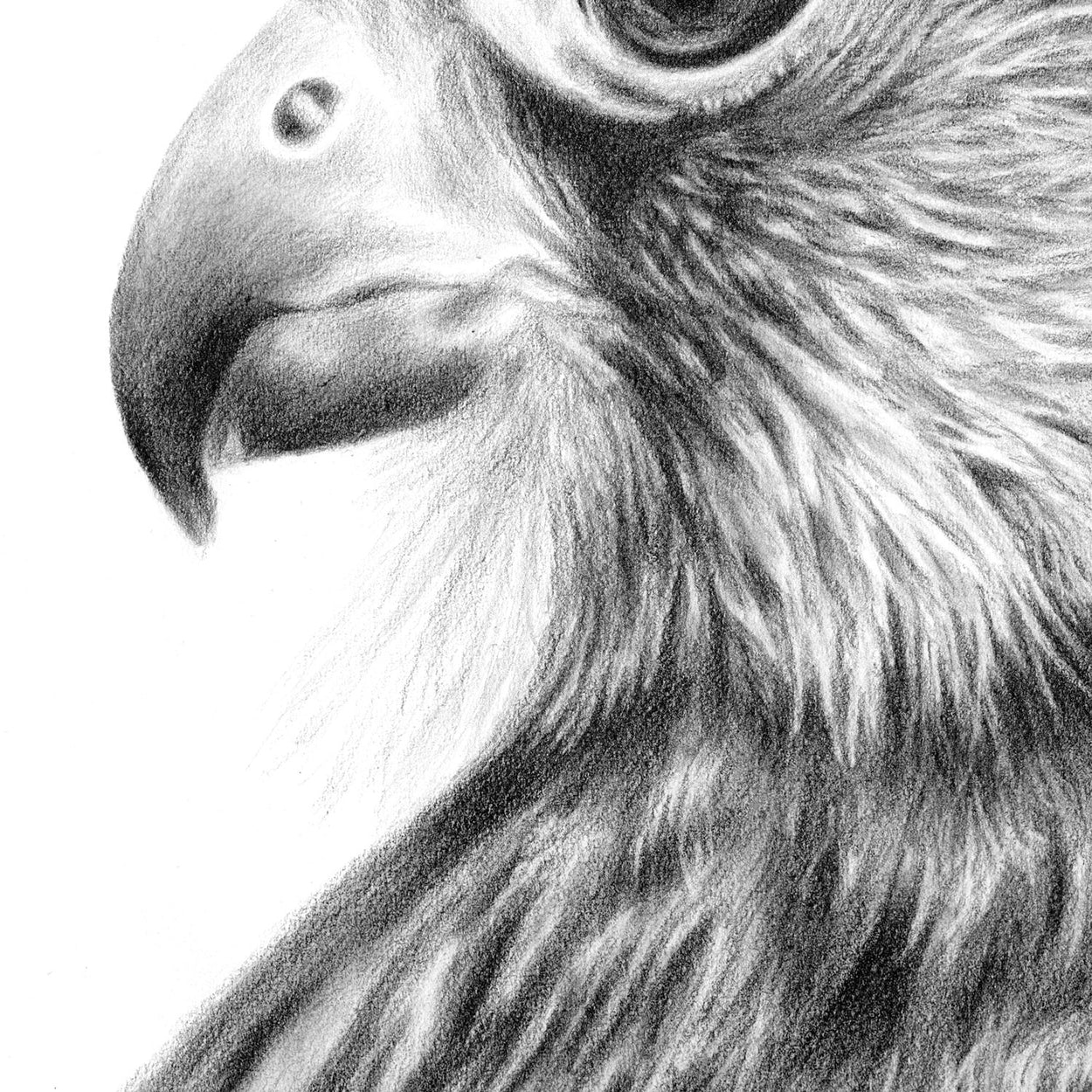 Kestrel Drawing Close-Up 1 - The Thriving Wild