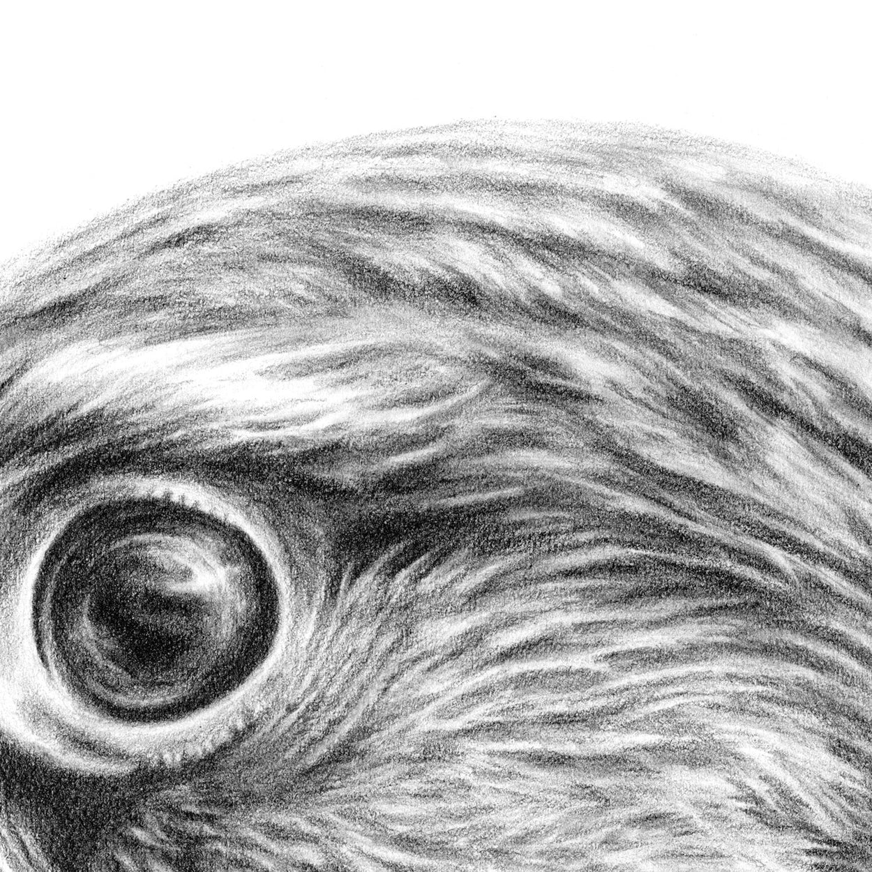 Kestrel Drawing Close-up 1 - The Thriving Wild - Jill Dimond
