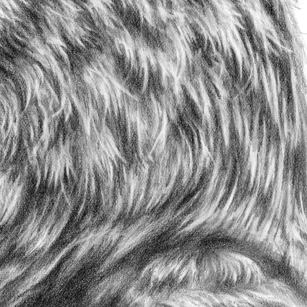 Kestrel Drawing Close-up 3 - The Thriving Wild