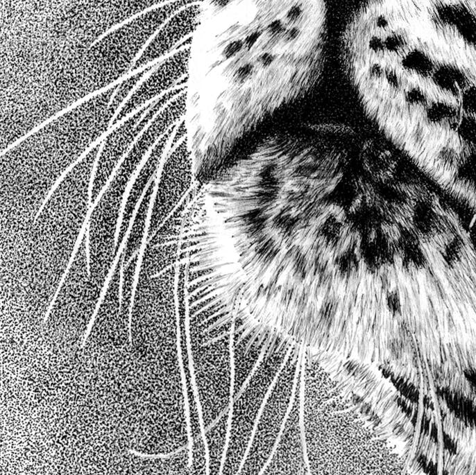 Leopard Drawing Close-up - The Thriving Wild