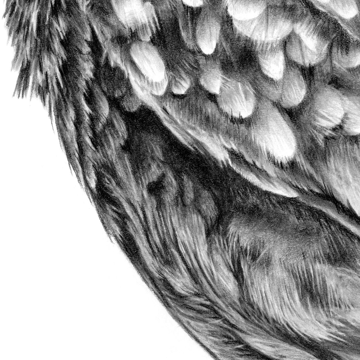 Little Owl Drawing Feathers Close-up - The Thriving Wild
