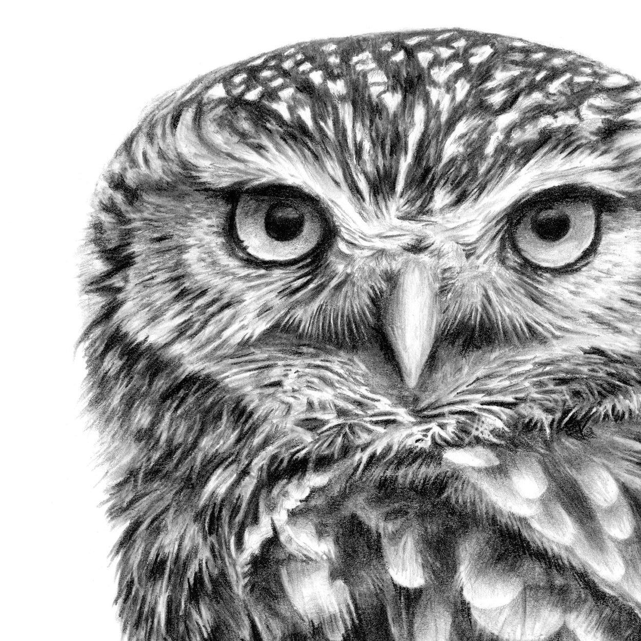 Little Owl Face Pencil Drawing Close-up - The Thriving Wild