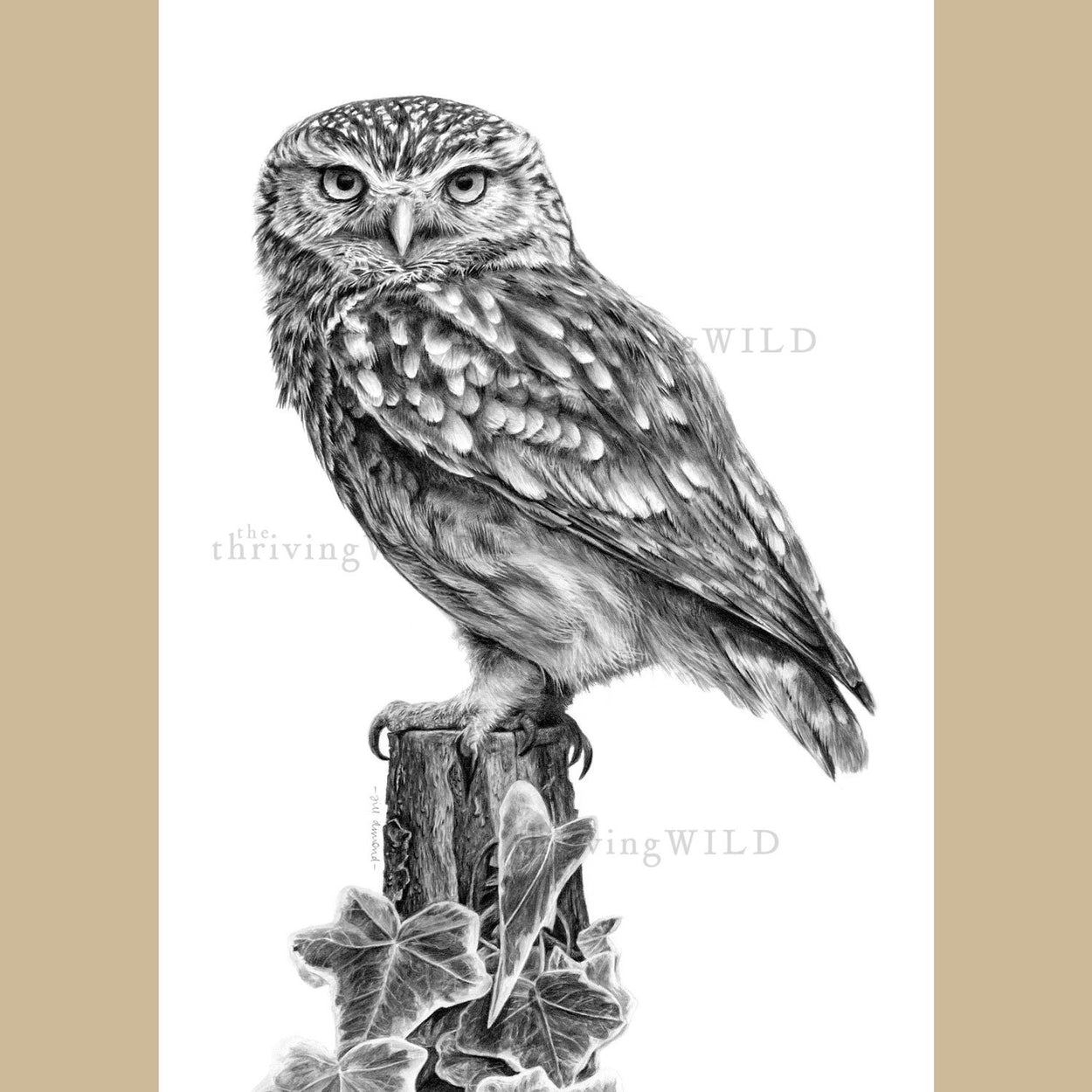 Little Owl Pencil Drawing Bird - The Thriving Wild Jill Dimond