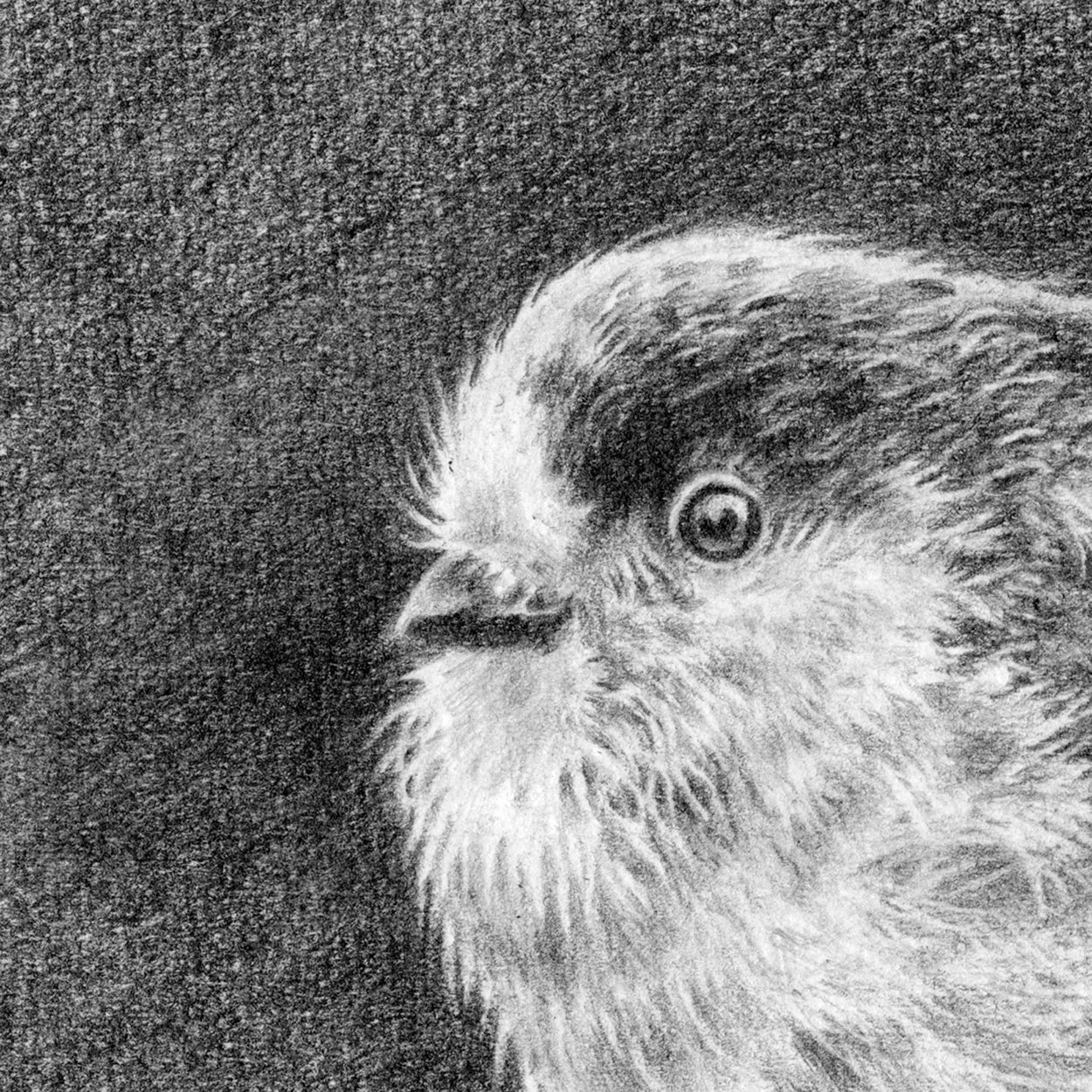 Long-Tailed Tit Drawing Close-up 1 - The Thriving Wild