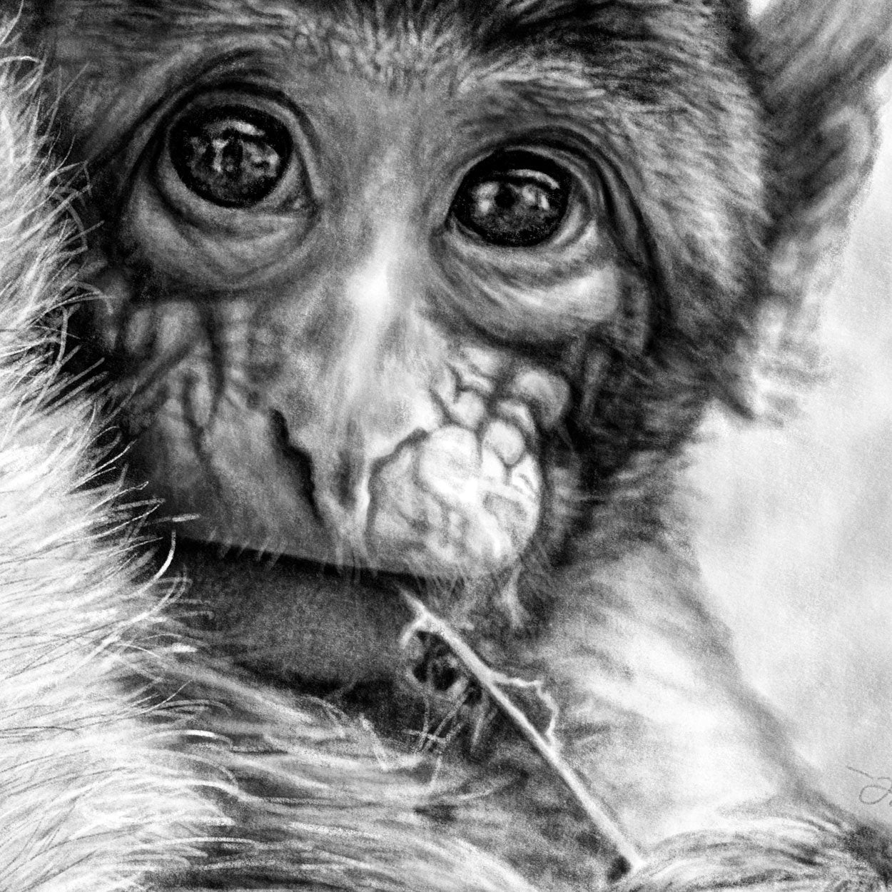 Macaque Baby Drawing Close-up - The Thriving Wild