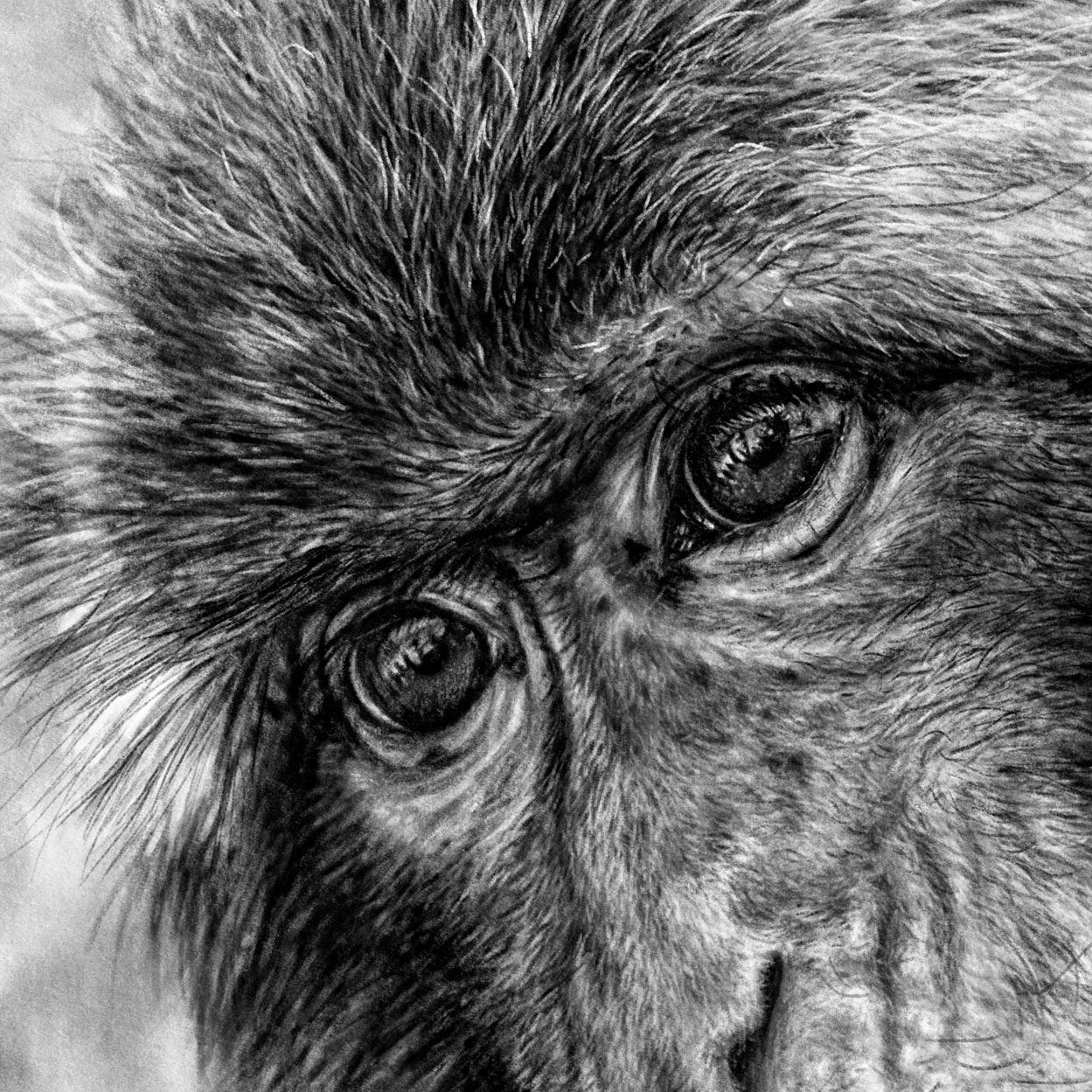 Macaque Eyes Drawing Close-up - The Thriving Wild