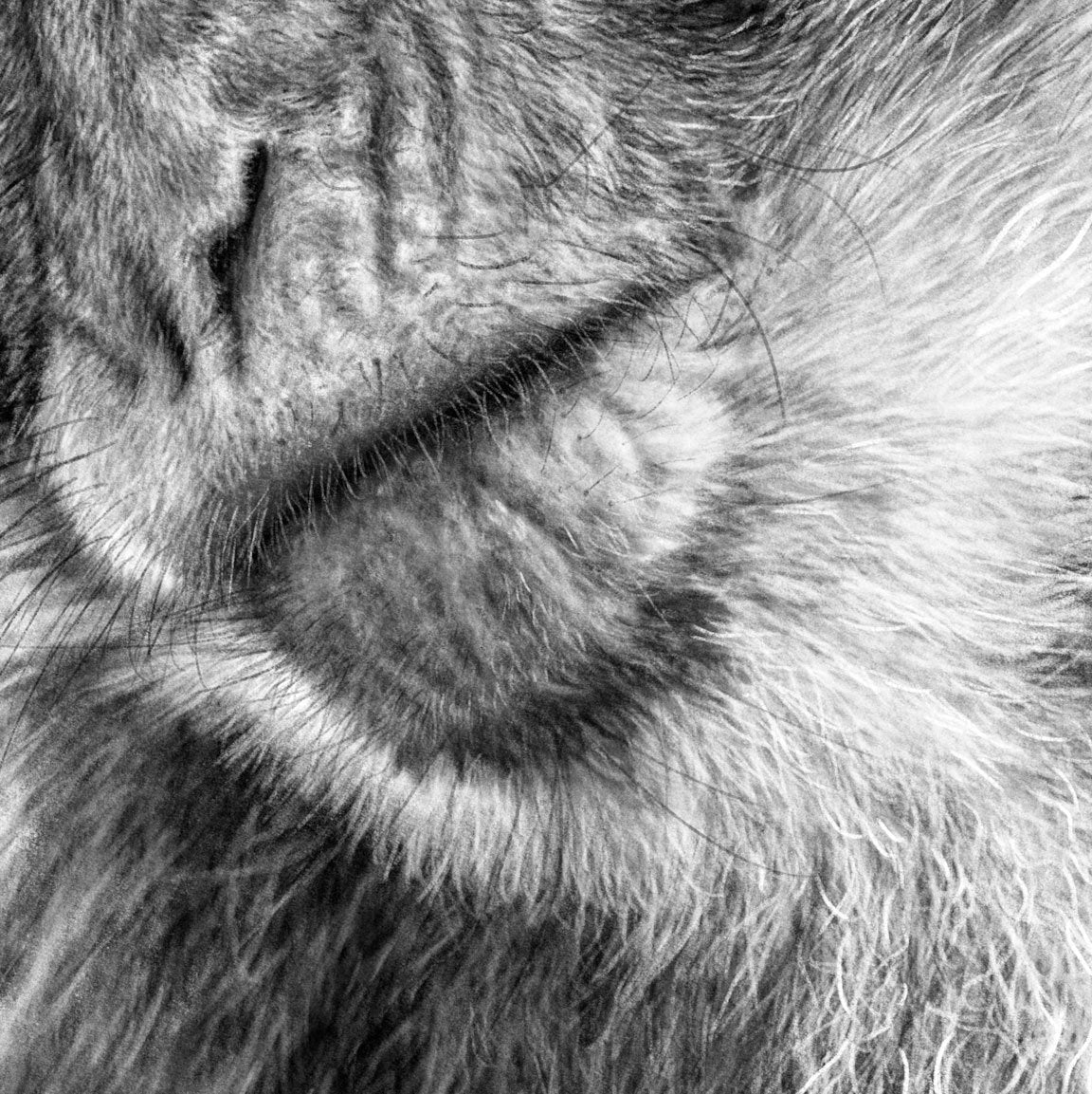 Macaques Drawing Close-up - The Thriving Wild