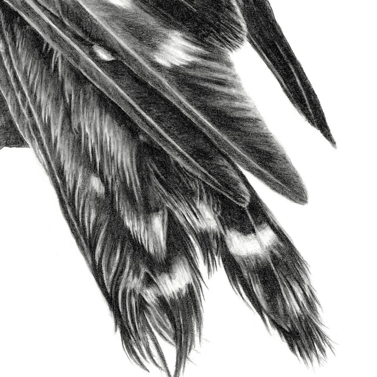 Merlin Tail Drawing Close-up - The Thriving Wild