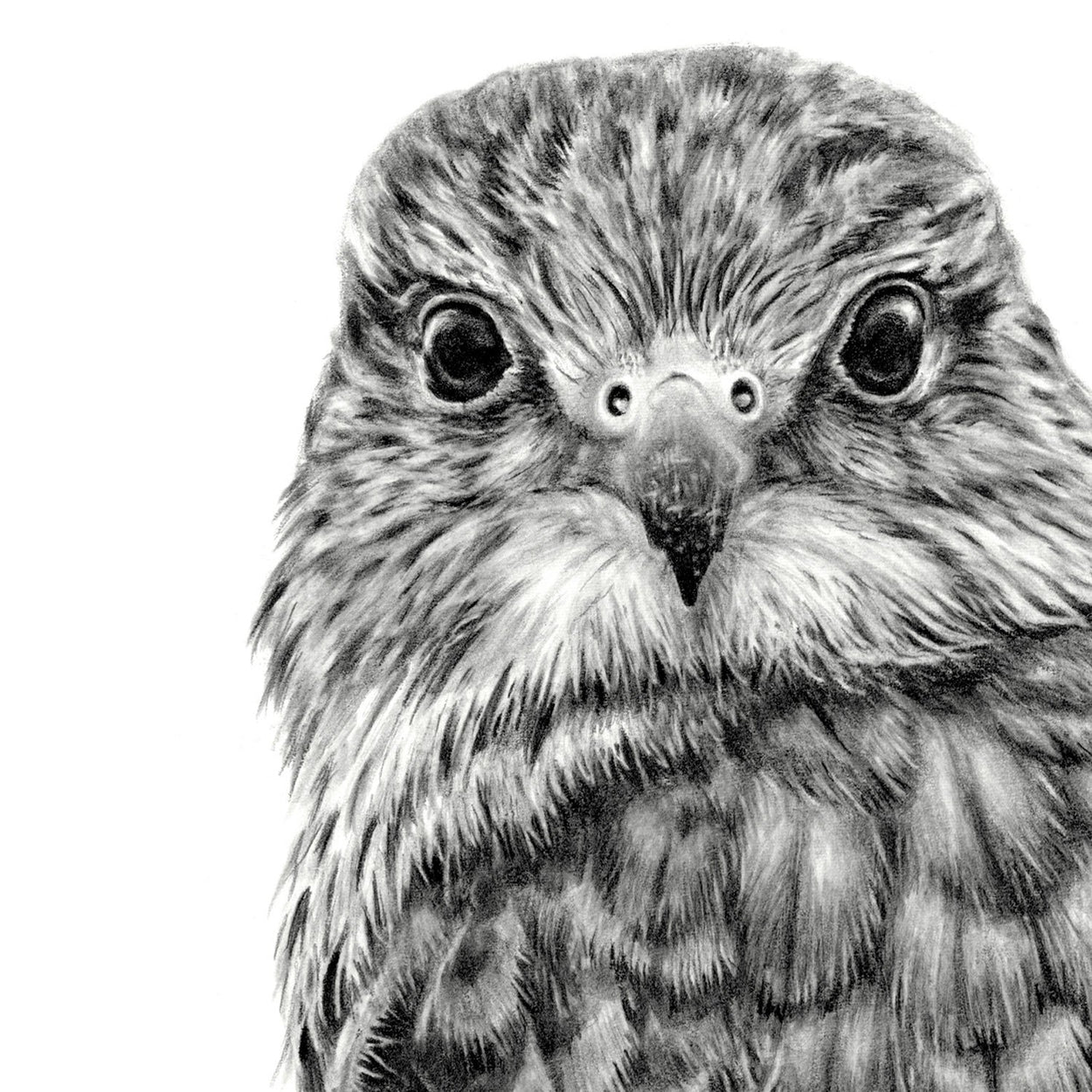 Merlin Bird Drawing Close-up 1 - The Thriving Wild